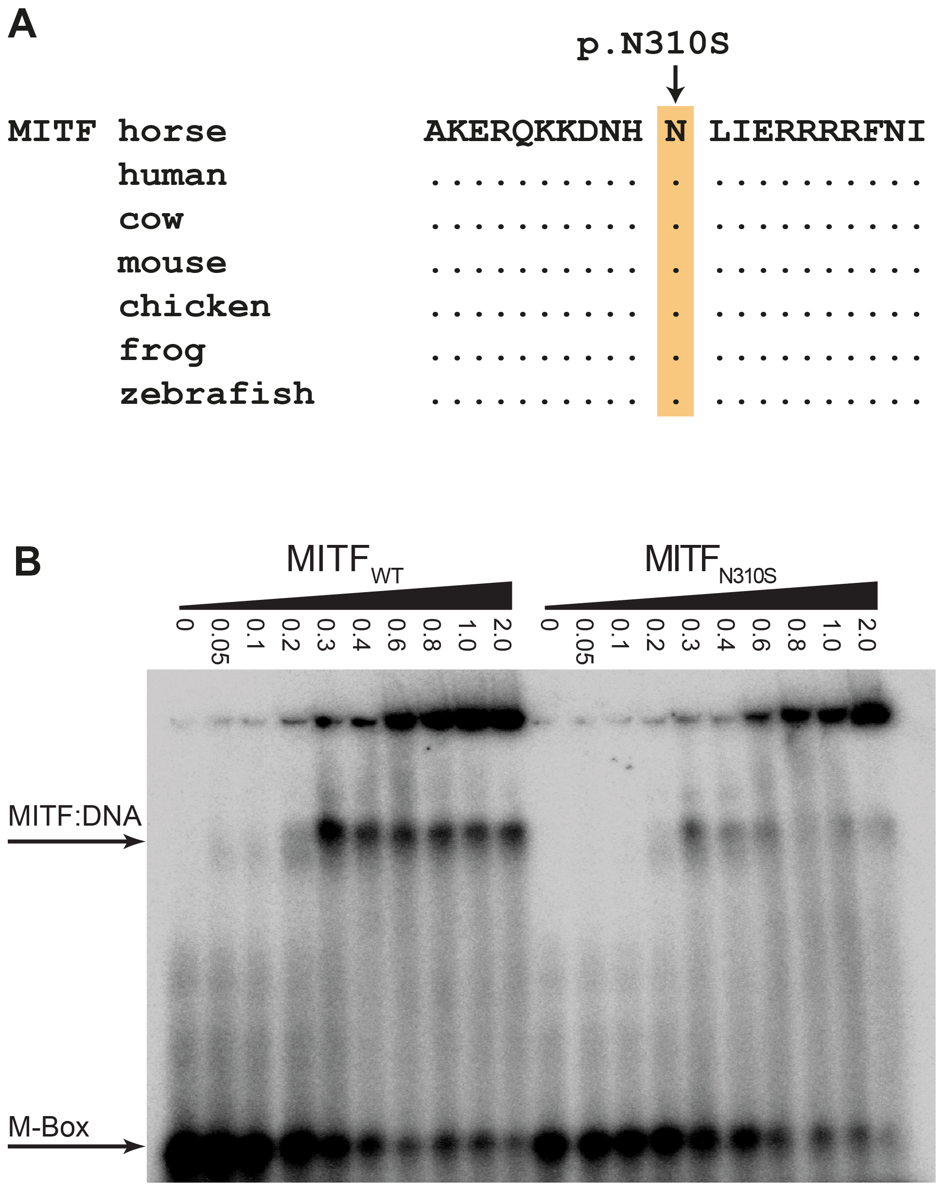 Functional validation of the MITF:p.N310S mutation.