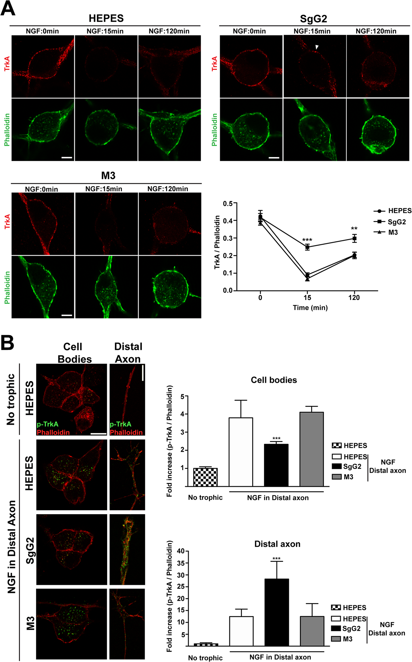 SgG2 reduces NGF induced TrkA internalization and retrograde transport.