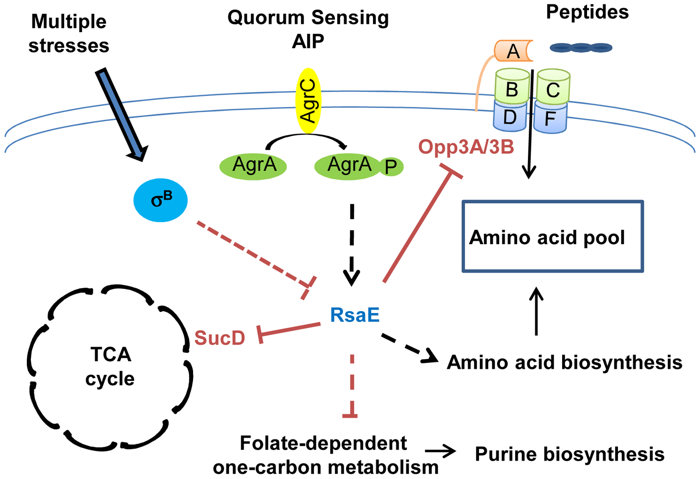 RsaE controls central metabolic pathways.