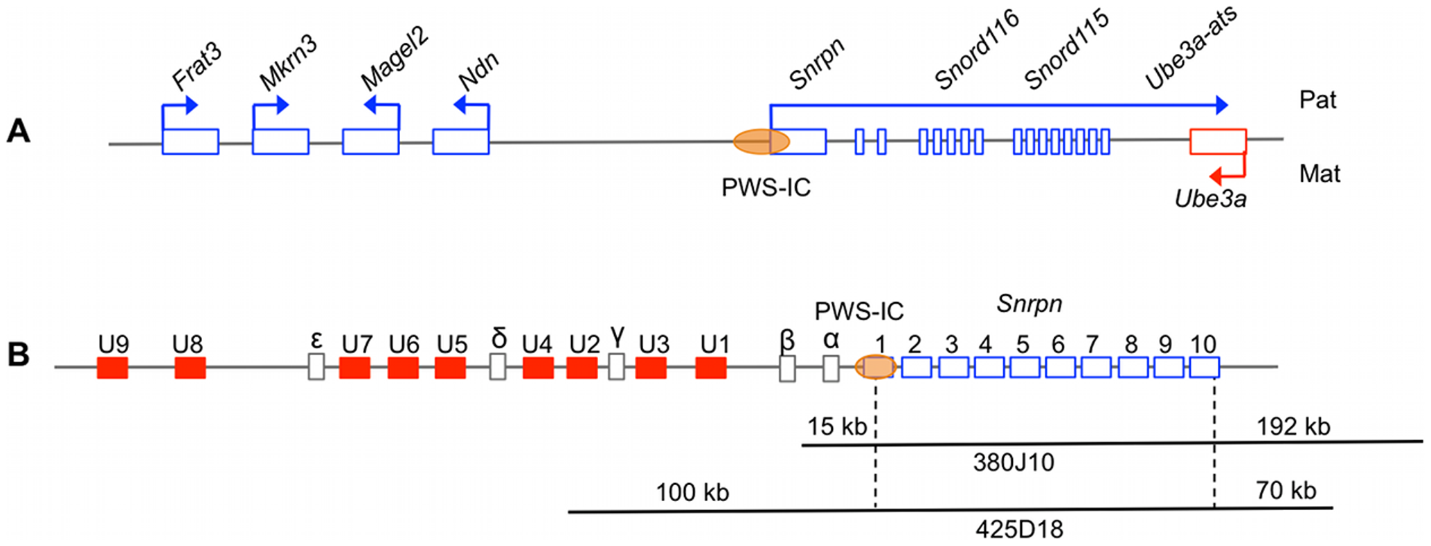 The PWS/AS imprinted domain and corresponding regions covered by the BAC transgenes.