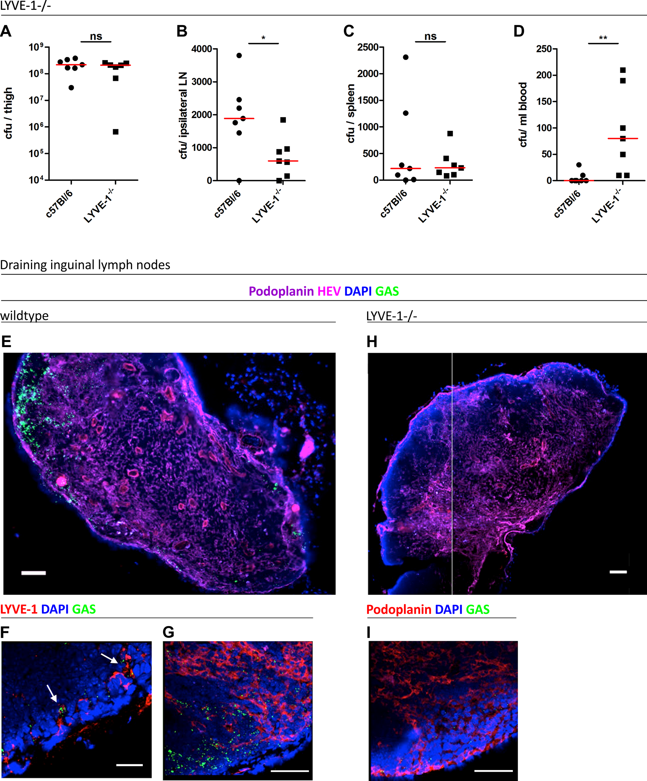 Genetic deletion of LYVE-1 impairs GAS dissemination to draining lymph nodes.
