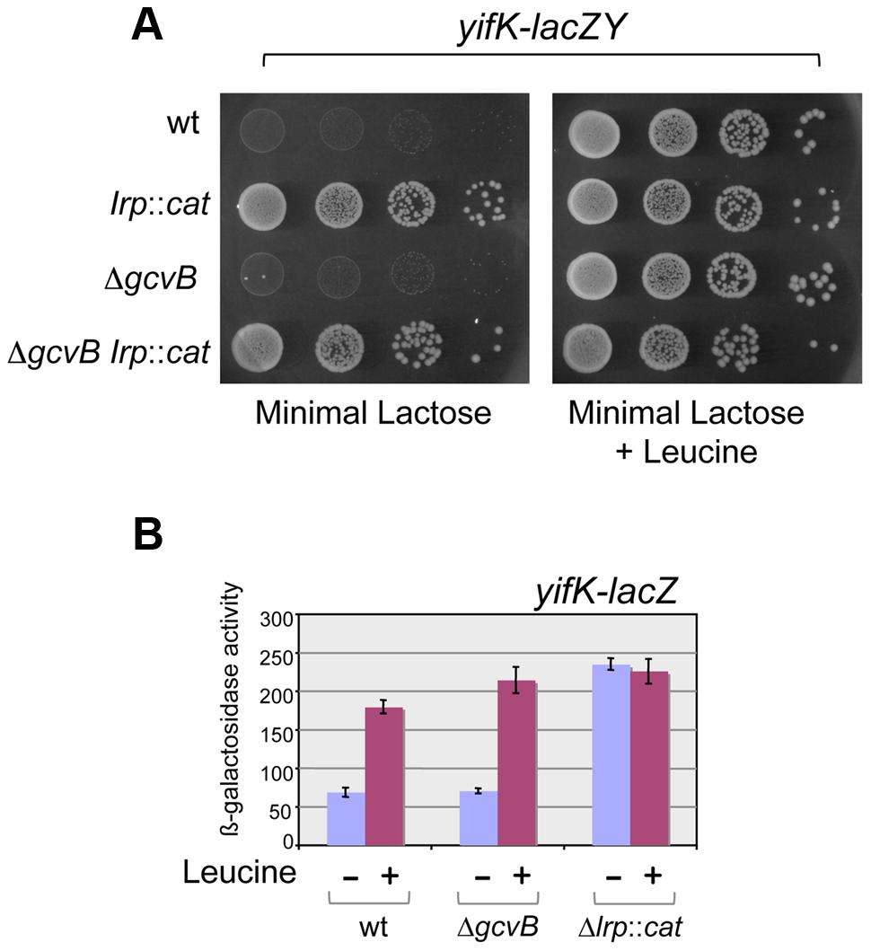 Lrp control of <i>yifK-lacZY</i> expression.