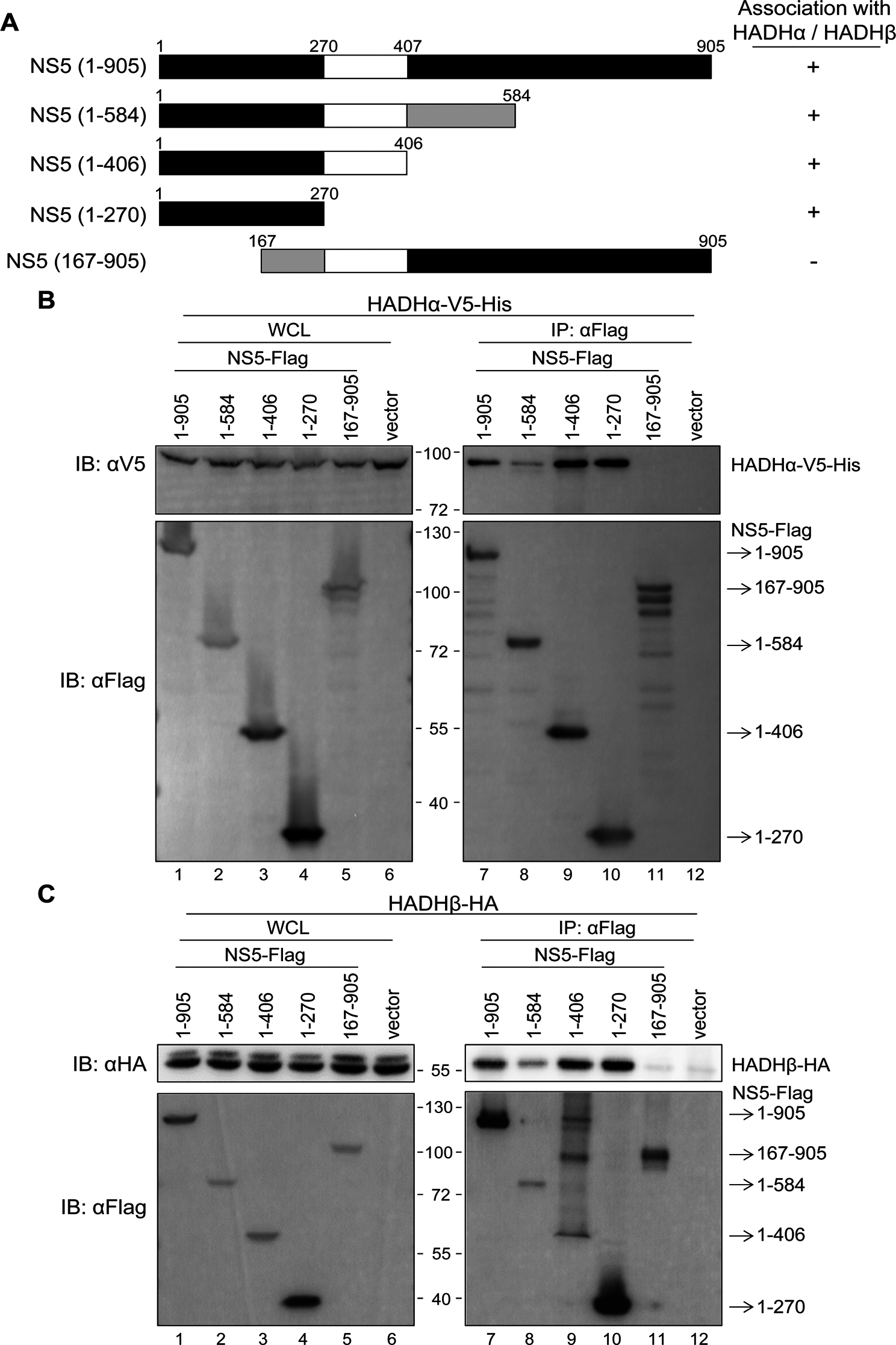 N-terminus of NS5 is essential for its interaction with MTP.