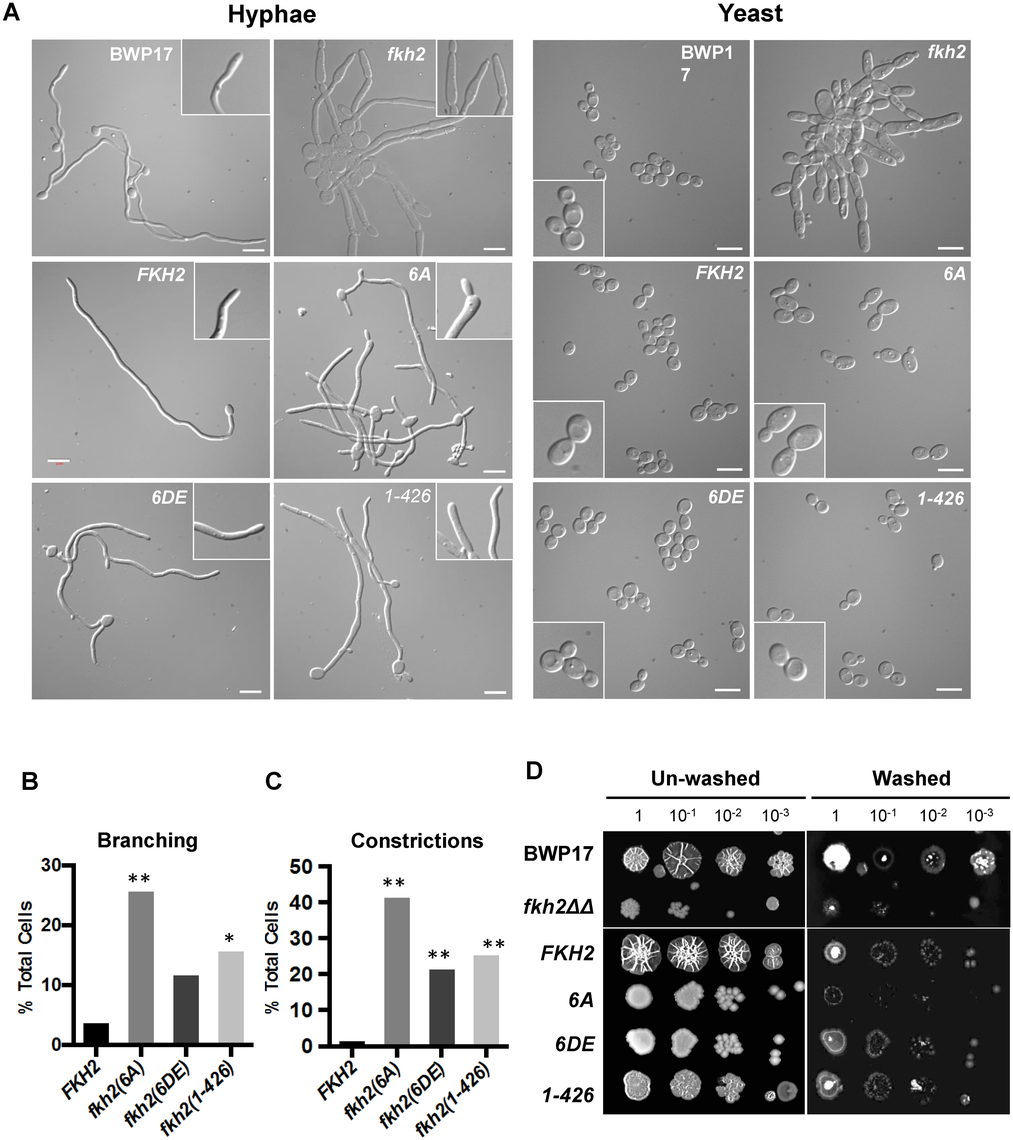 Phosphorylation of Fkh2 affects the long-term maintenance of hyphal growth.