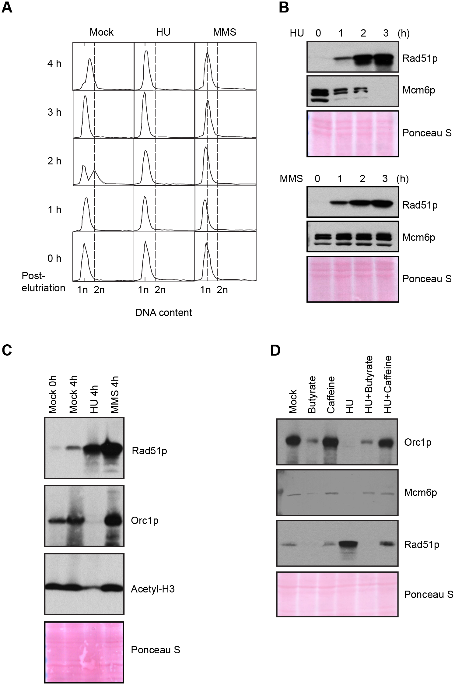 Effect of HU and MMS on pre-RC proteins in G1 treated cultures.