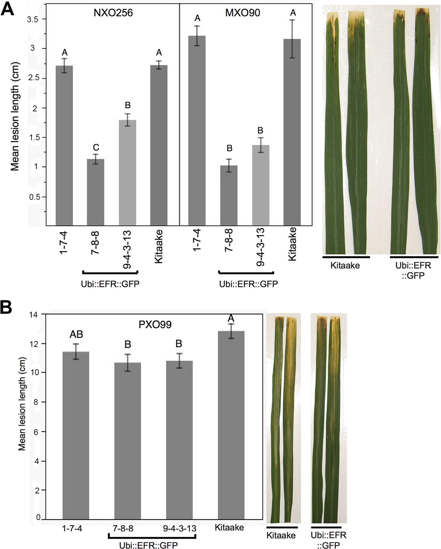 Rice lines expressing the EFR receptor are quantitatively more resistant to weakly virulent <i>Xoo</i> isolates.