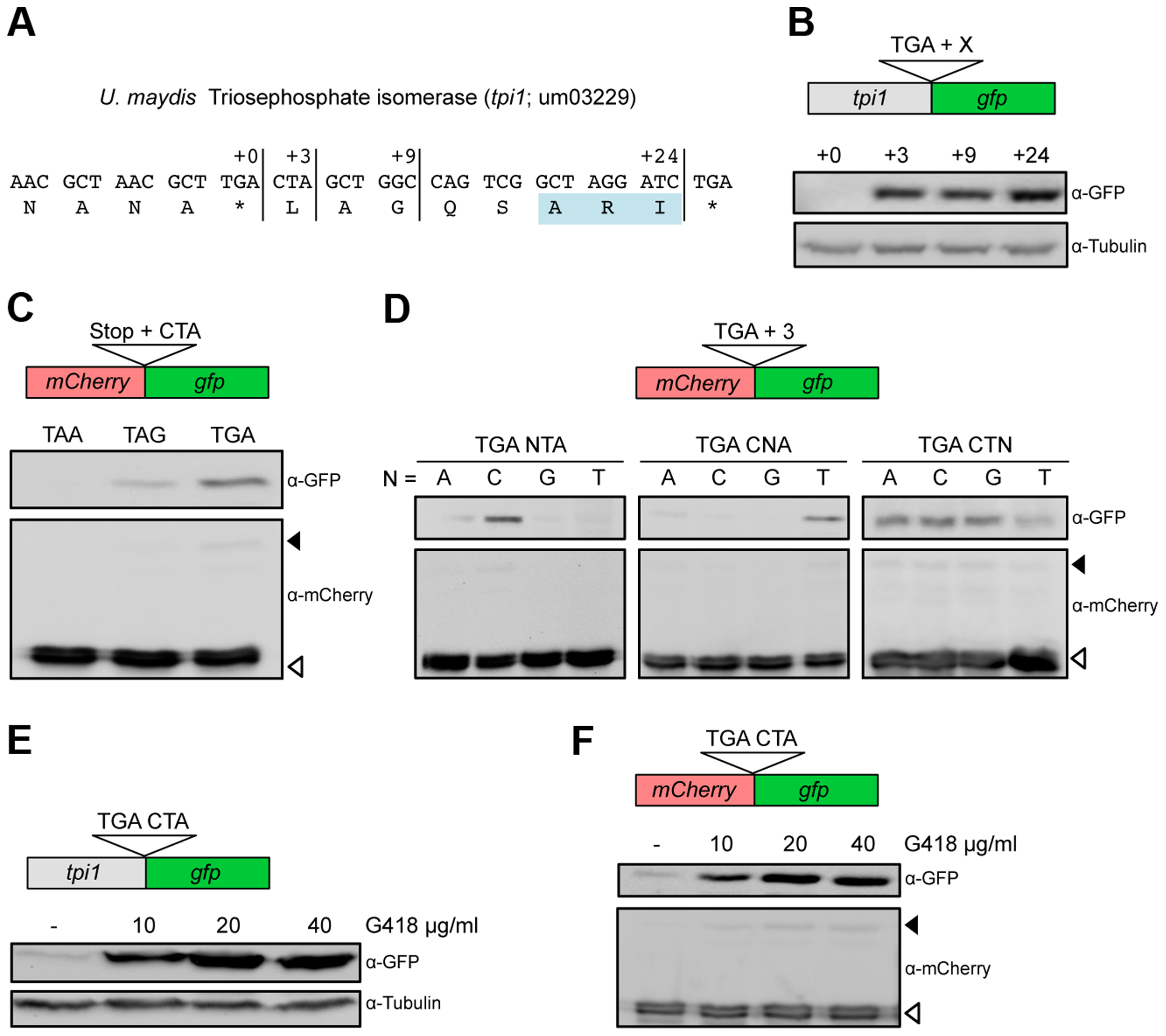 Characterization of sequence requirements for translational readthrough in <i>U. maydis</i>.