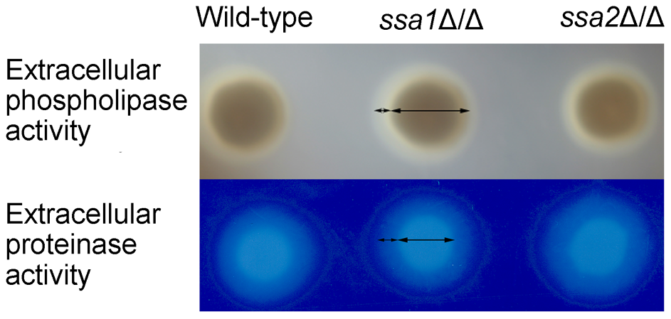 <i>C. albicans</i> extracellular phospholipase and protease activities are independent of Ssa1 and Ssa2.