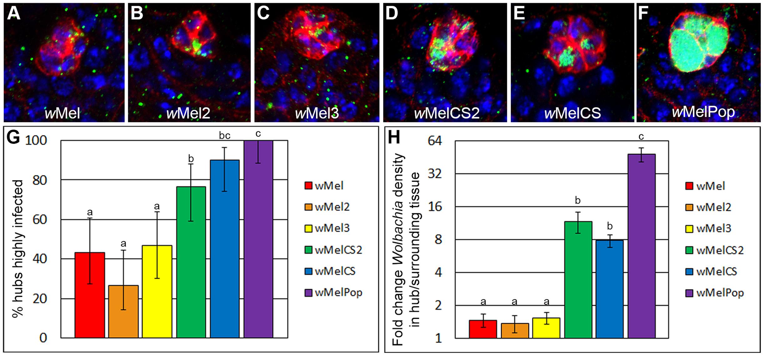 Closely related <i>Wolbachia</i> strains display rapidly divergent hub tropism phenotypes in <i>Drosophila melanogaster</i>.