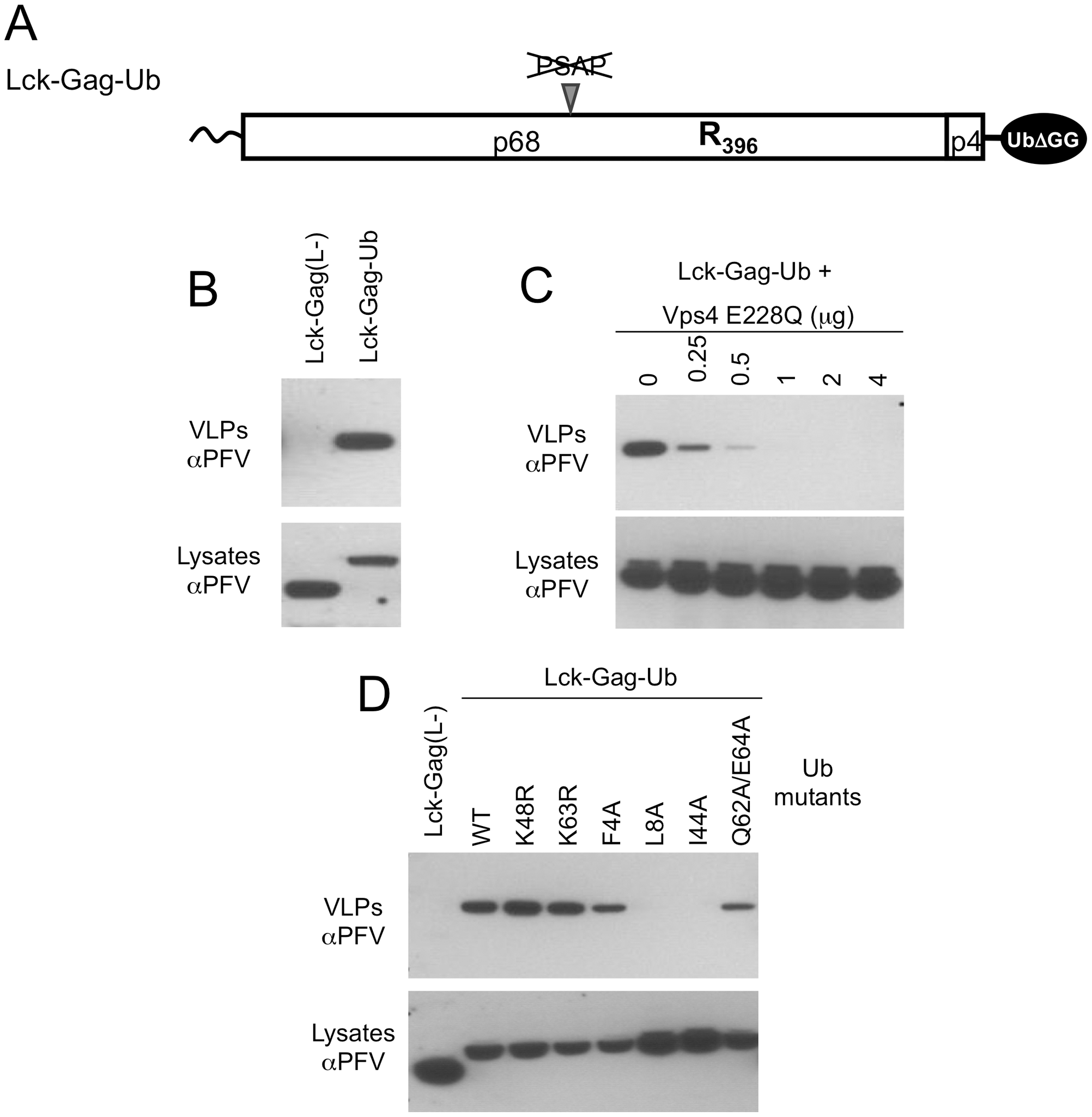 Direct fusion of ubiquitin to Lck-Gag stimulates L-domain-dependent and -independent budding.