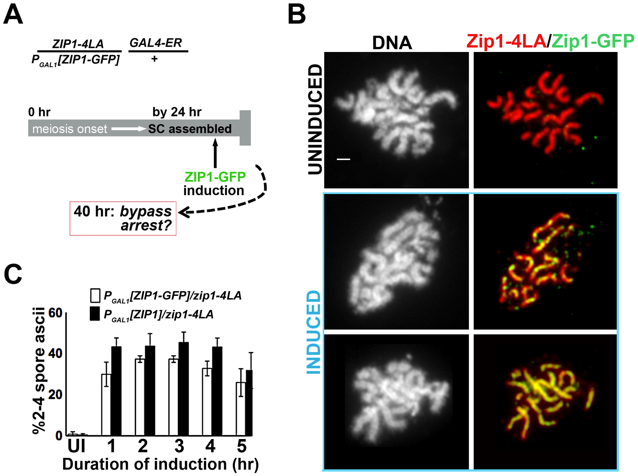 Post-synapsis incorporation of Zip1 or Zip1-GFP suppresses sporulation arrest triggered by SC built with Zip1-4LA.