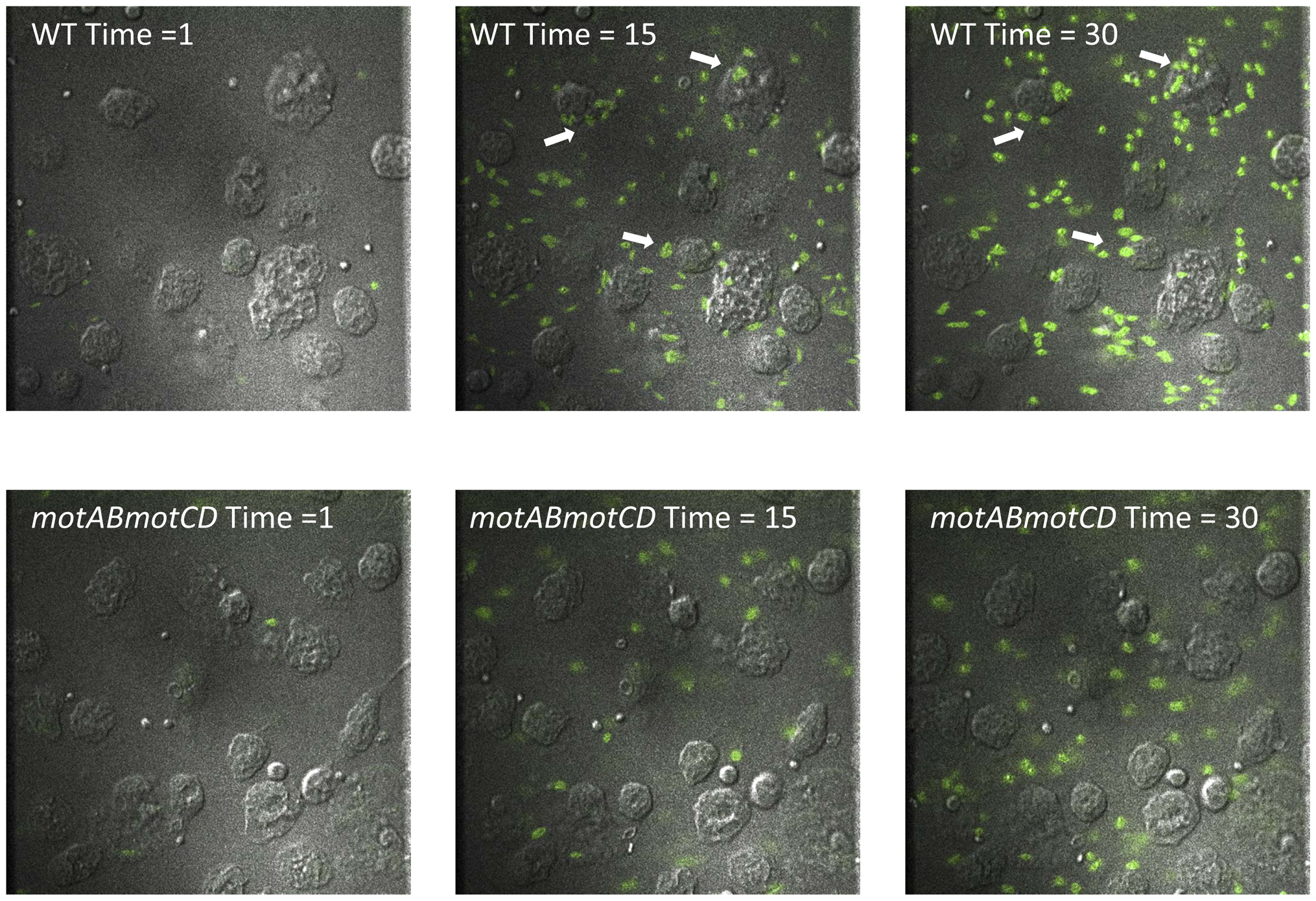 Live imaging of murine peritoneal macrophage interactions with PA14 WT or <i>motABmotCD</i> bacteria <i>in vitro</i>.
