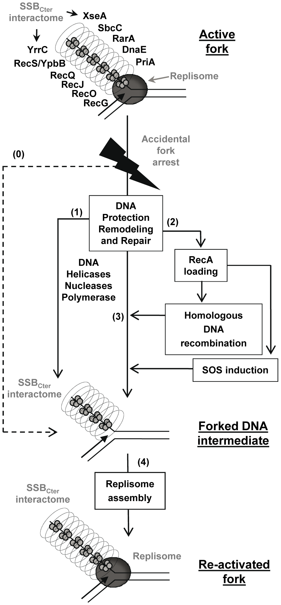 Model of the SSB<sub>Cter</sub> role in repair of damaged chromosomal DNA replication forks.