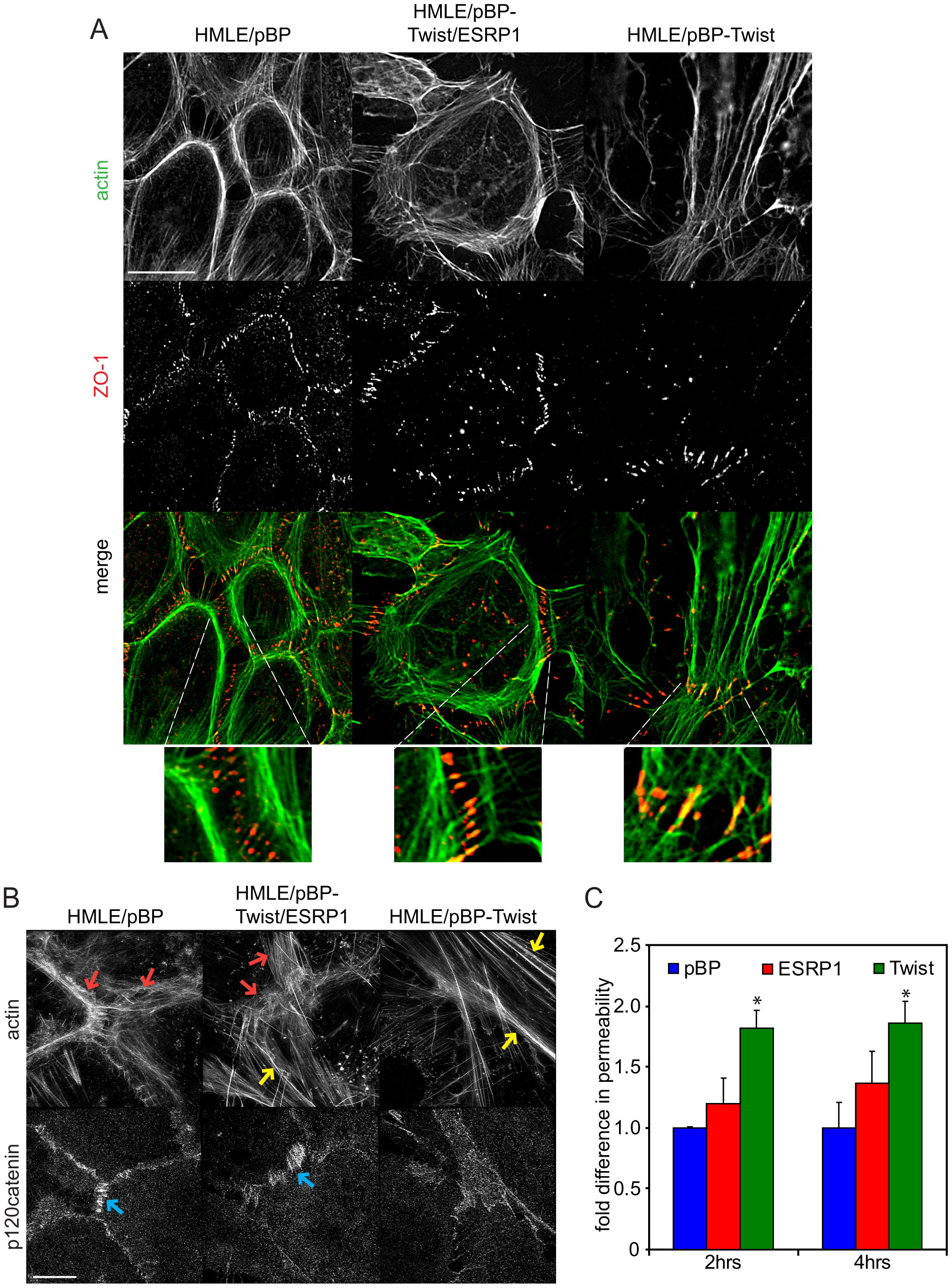 Expression of ESRP1 changes actin organization and localization of junctional markers in mesenchymal cells towards epithelial morphology.