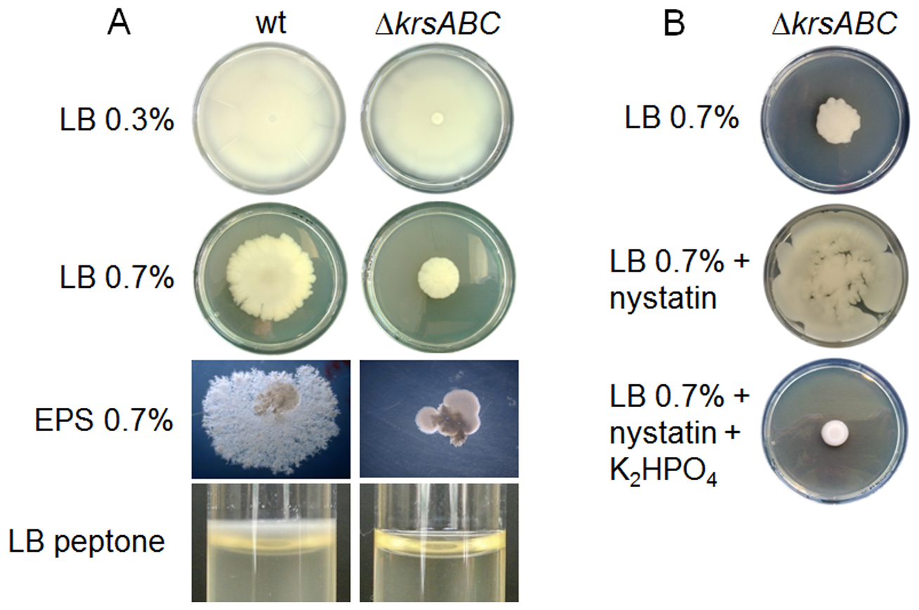 Kurstakin is required for swarming mobility and biofilm formation.