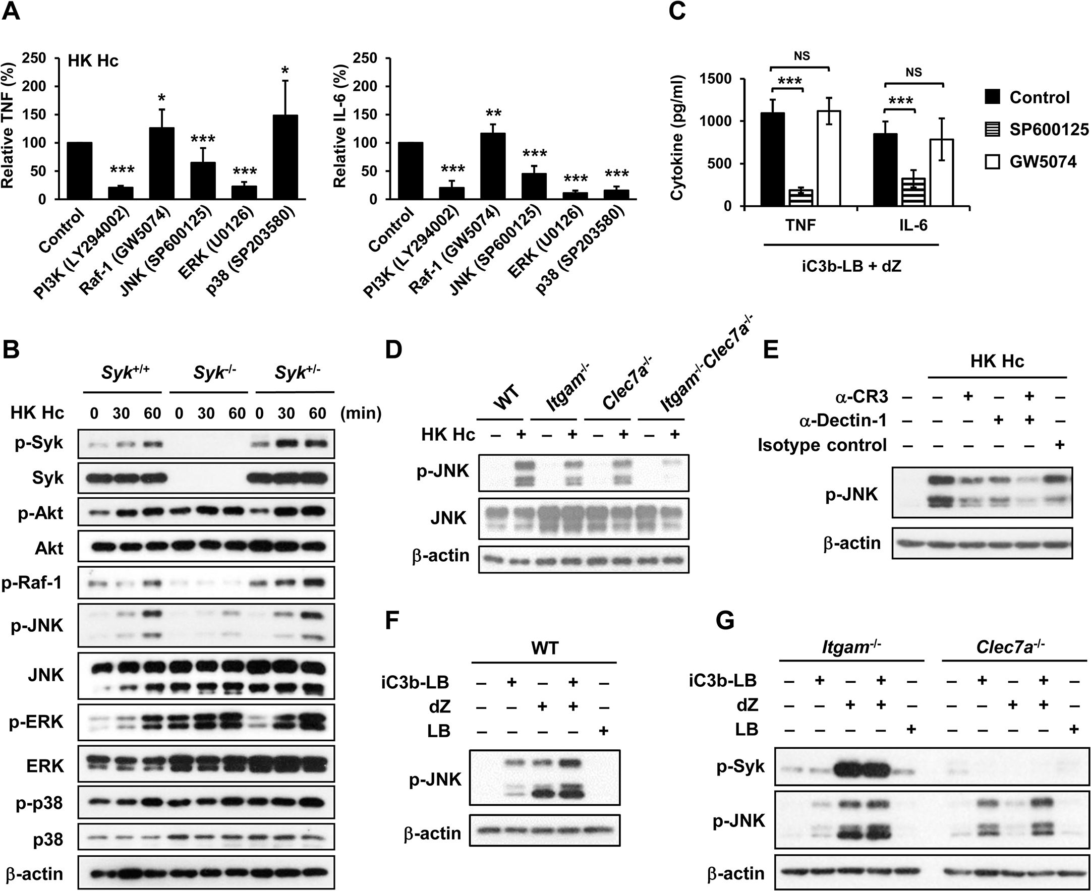 CR3 and Dectin-1 collaborate to enhance JNK activation.