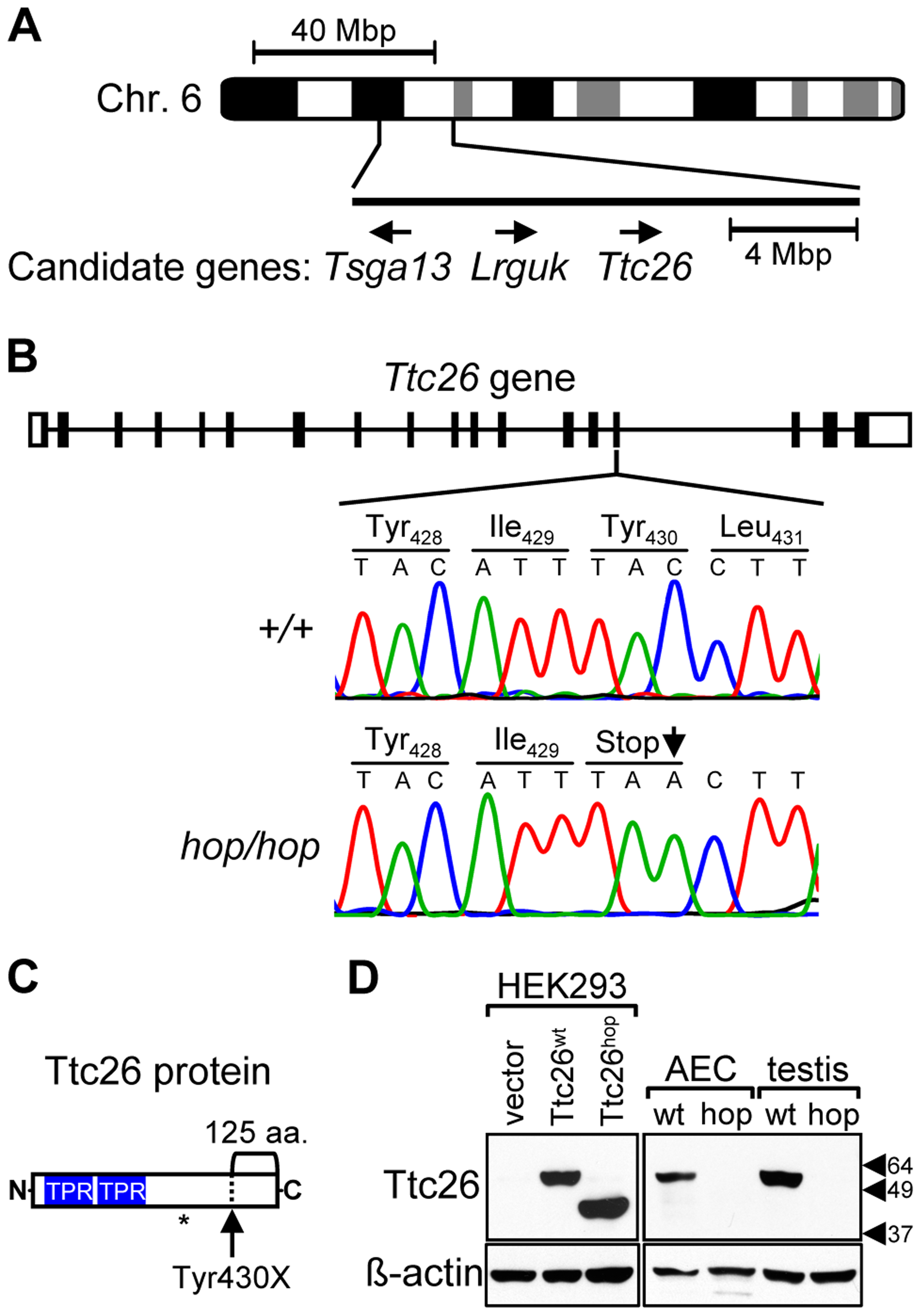 The <i>Ttc26</i> gene of the hop mouse contains a nonsense mutation.