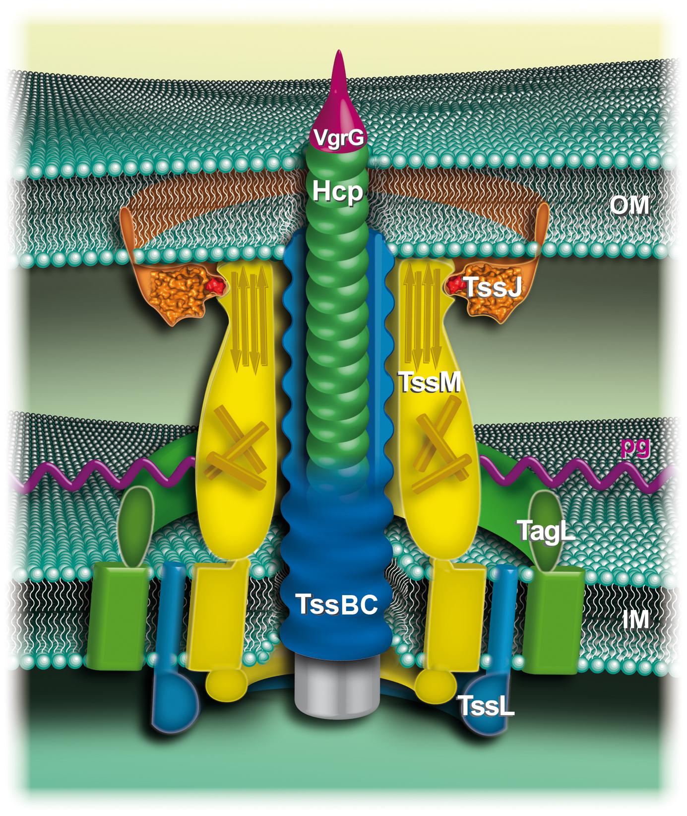 Schematic representation of the enteroaggregative <i>E. coli</i> T6SS.