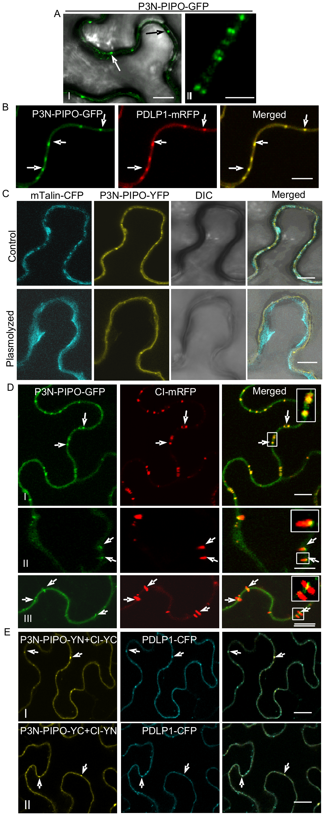 TuMV P3N-PIPO is a PD-localized protein and mediates the targeting of CI to PD in <i>N. benthamiana</i>.