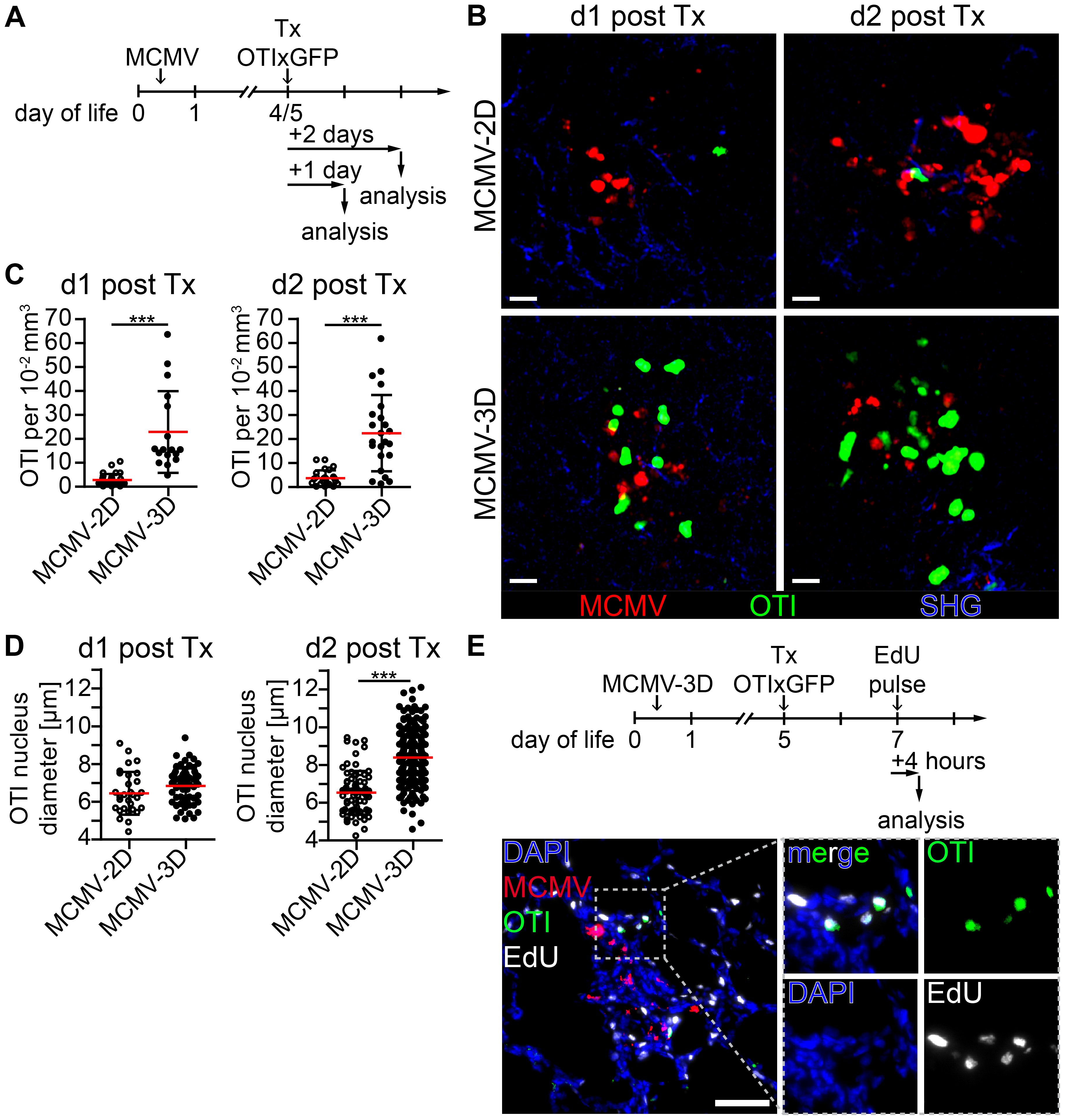 Early activation and proliferation of naïve OTI T cells in nodular inflammatory foci of the neonatal lung.