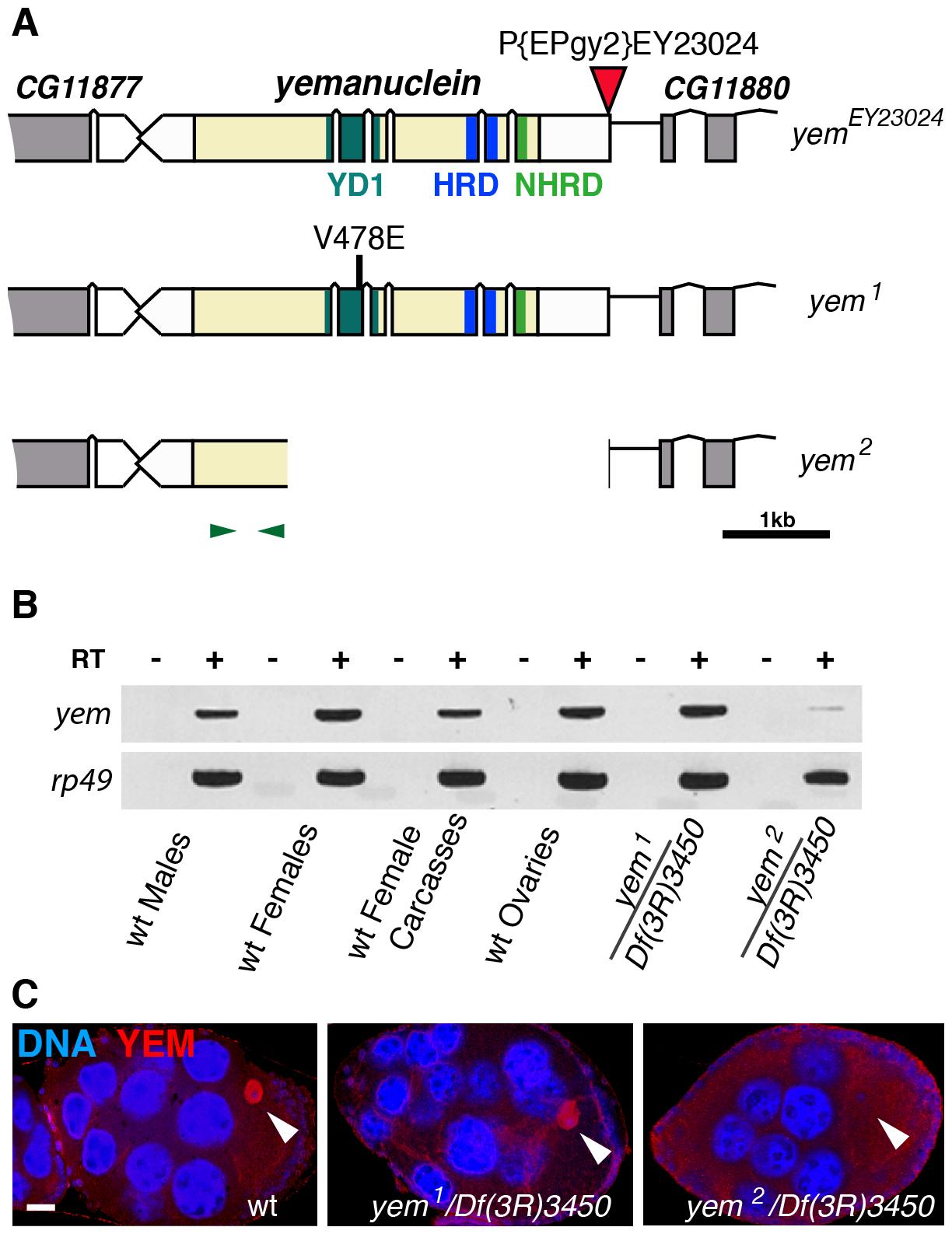 Mutations affecting the <i>yem</i> gene.