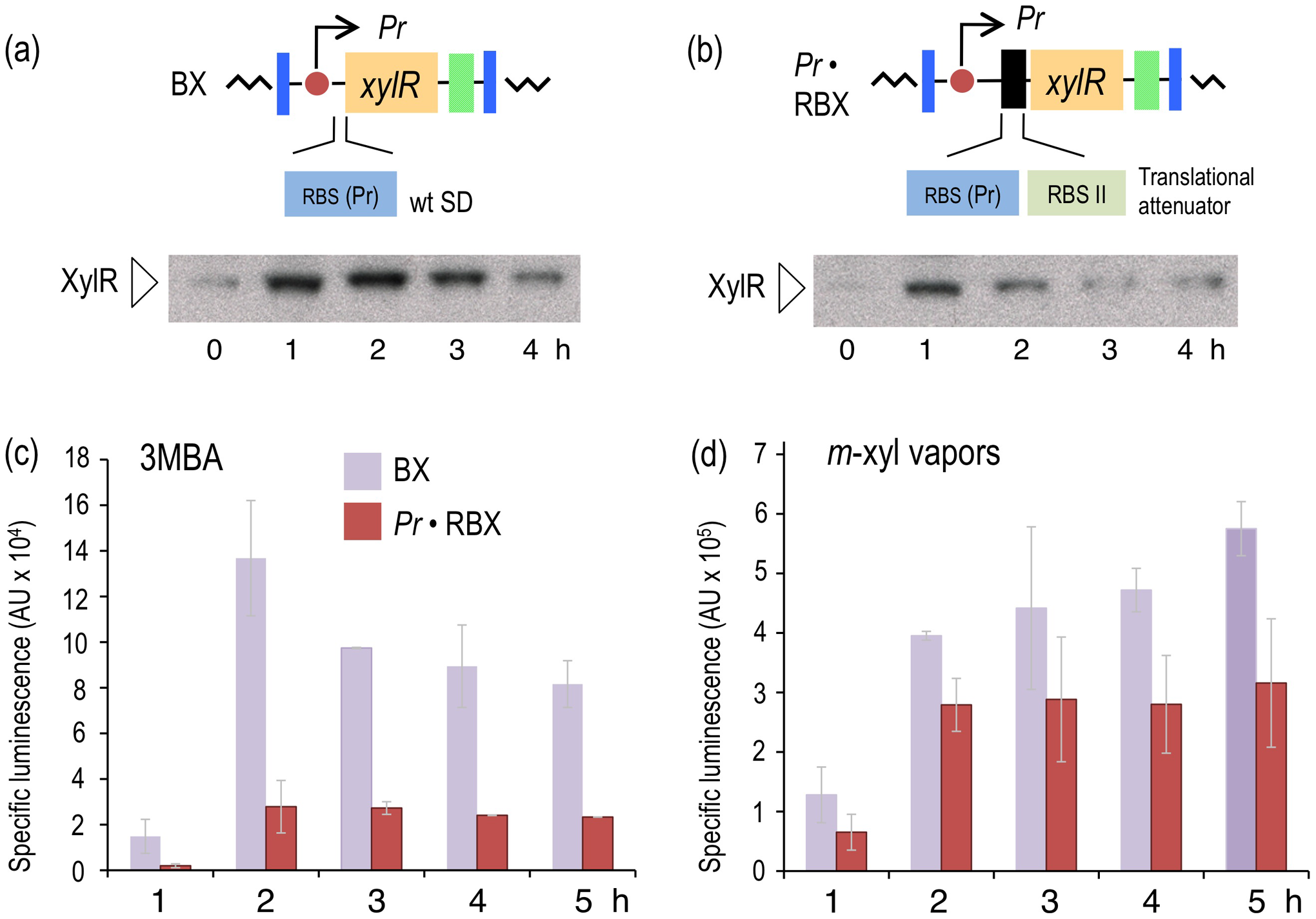 Effect of translational attenuation on performance of the XylR/<i>Pu</i> regulatory node.