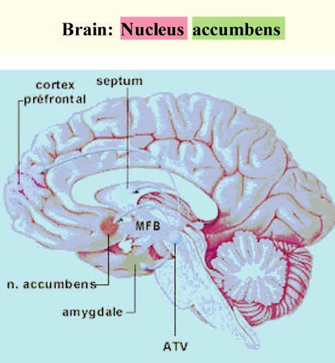 """Hédonický mozek  Vyznačené oblasti jsou uzly oboustranné neuronální sítě velkého rozsahu (""""konektomu"""") Zdroj: Koukolík, F.: Základy kognitivní, afektivní a sociální neurovědy XXV. O štěstí – hédonický mozek. Prakt. Lék., 2013, 1, s. 10–15."""