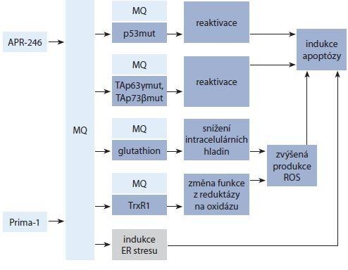 Schéma 1. Procesy indukované Prima-1 a APR-246 vedoucí k indukci apoptózy.