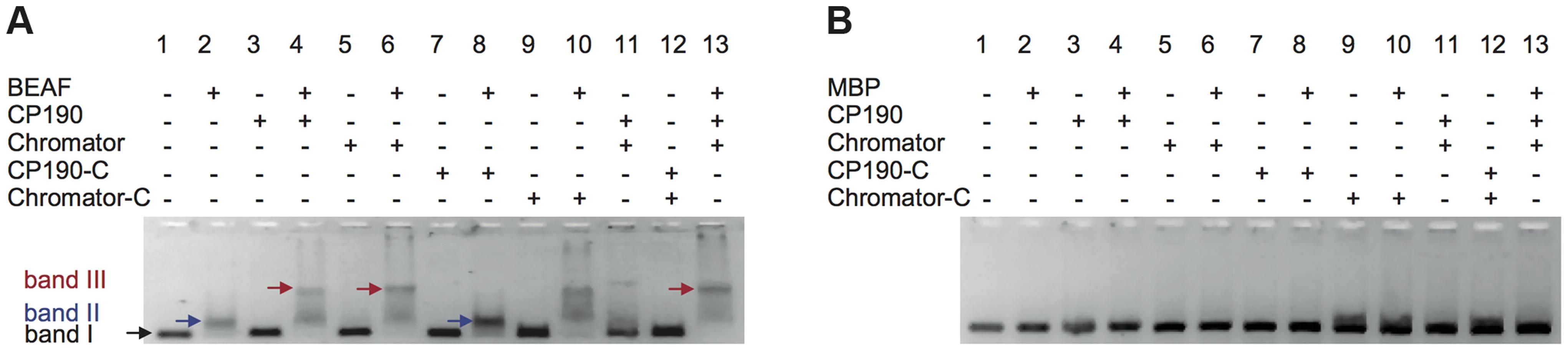 Insulator factors interact upon DNA binding.