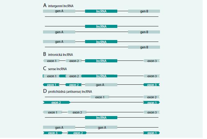 Třídy dlouhých nekódujících RNA. Upraveno podle [5] V současnosti rozlišujeme 4 hlavní třídy dlouhých nekódujících RNA (lncRNA). (A) Intergenní lncRNA (lincRNA) nacházející se mezi známými protein kódujícími geny, (B) intronické lncRNA nacházející se v intronech již známých protein kódujících genů a dále (C) sense a (D) antisense lncRNA vznikající jako součást delšího mRNA transkriptu (C) nebo z jeho protichůdného vlákna (D). Tmavá barva znázorňuje vznikající lncRNA, světlá barva znázorňuje protein kódující gen.
