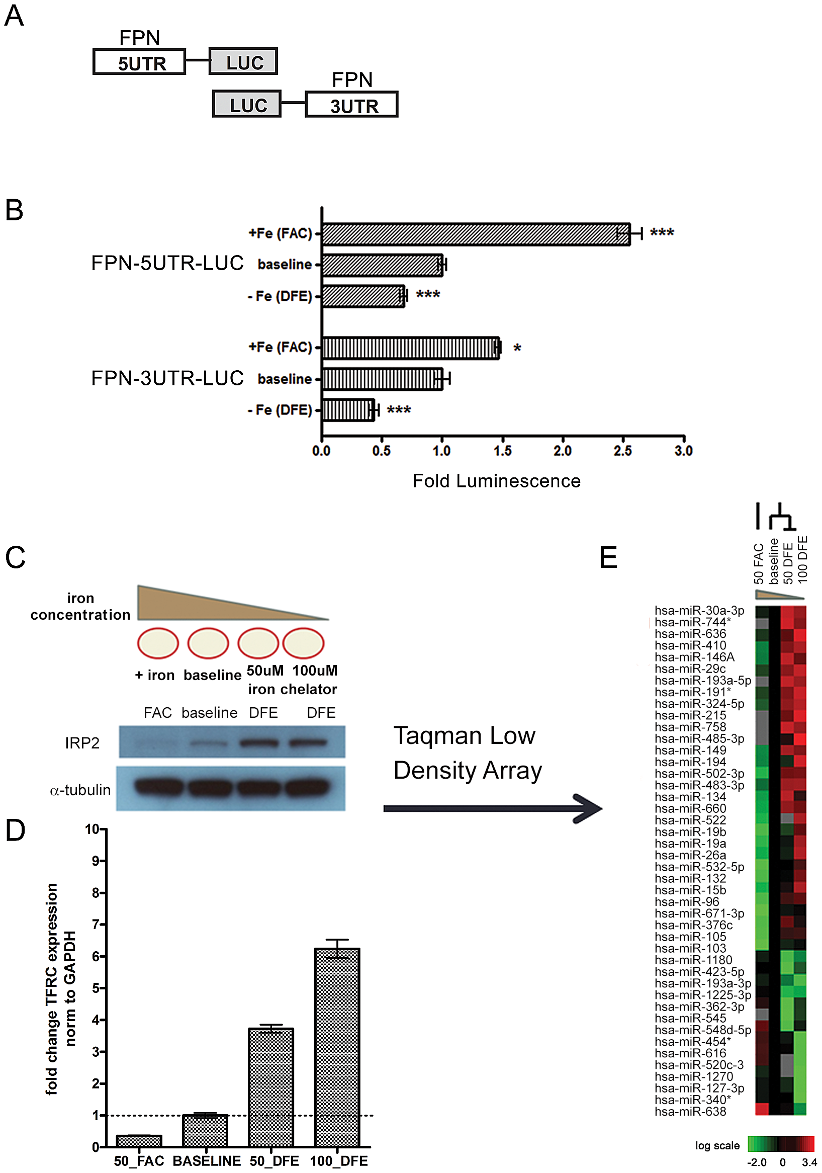 Ferroportin is post-transcriptionally regulated by elements within both the 5′ and 3′ UTRs in response to altered cellular iron concentration.