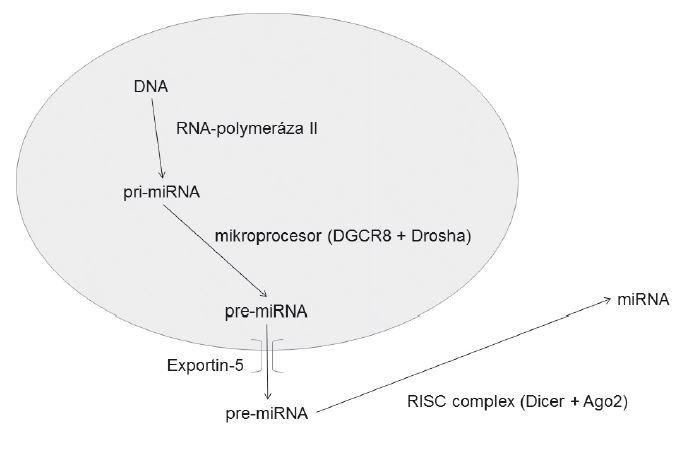 Mechanismus vzniku miRNA DGCR8 – DiGeorge Syndrome Critical Region 8 RISC – RNA-induced silencing complex