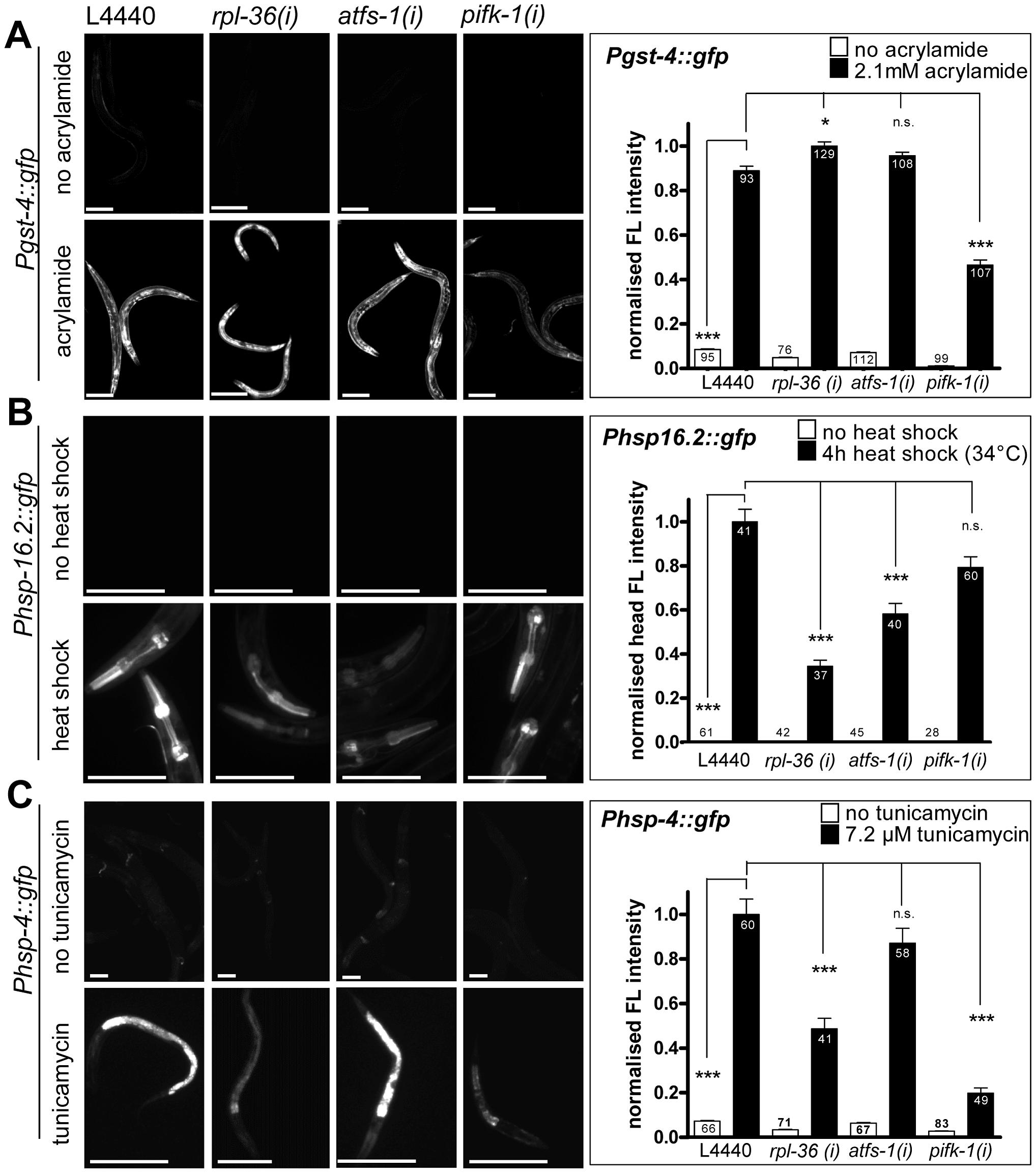 The knockdown of <i>rpl-36</i>, <i>atfs-1</i>, or <i>pifk-1</i> does not prevent non-mitochondrial stress responses.