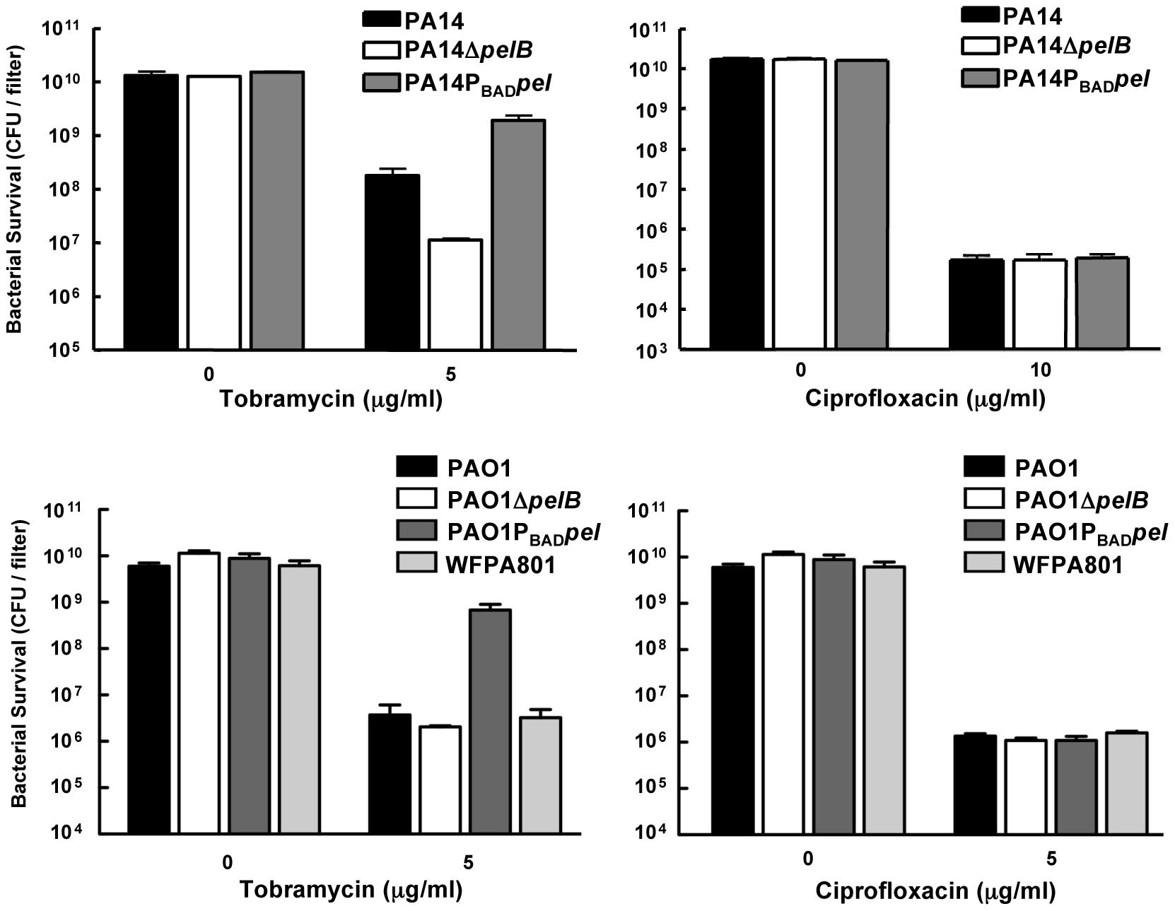 Analysis of Pel-mediated antibiotic tolerance in biofilms.
