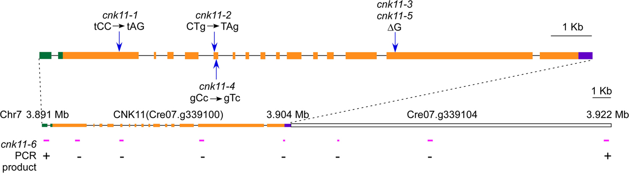 Gene structure of <i>CNK11</i> and its position on chromosome 7.