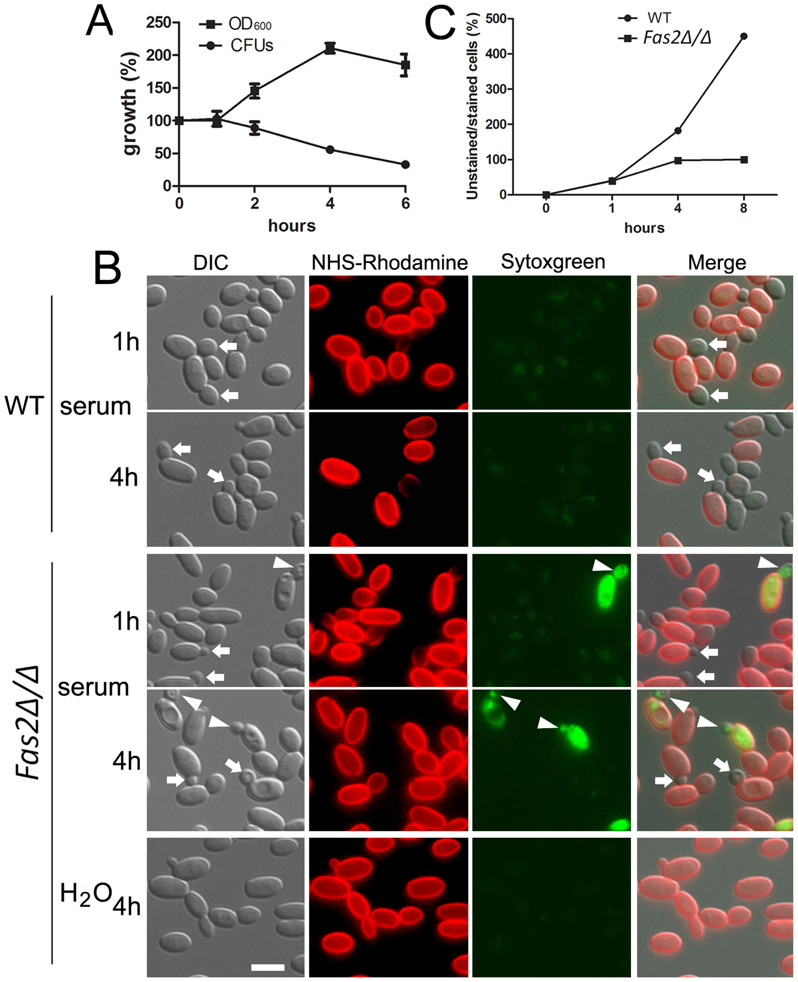 Serum incubation results in dysfunction in bud formation in <i>Fas2Δ/Δ</i> yeast cells.