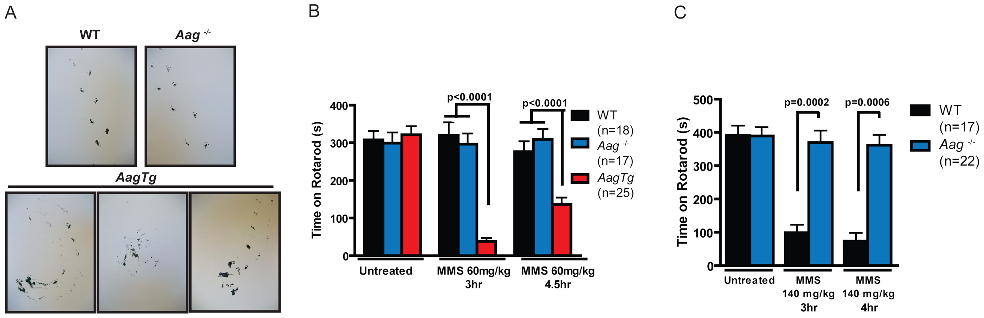 MMS induces an Aag-dependent decrease in motor function.