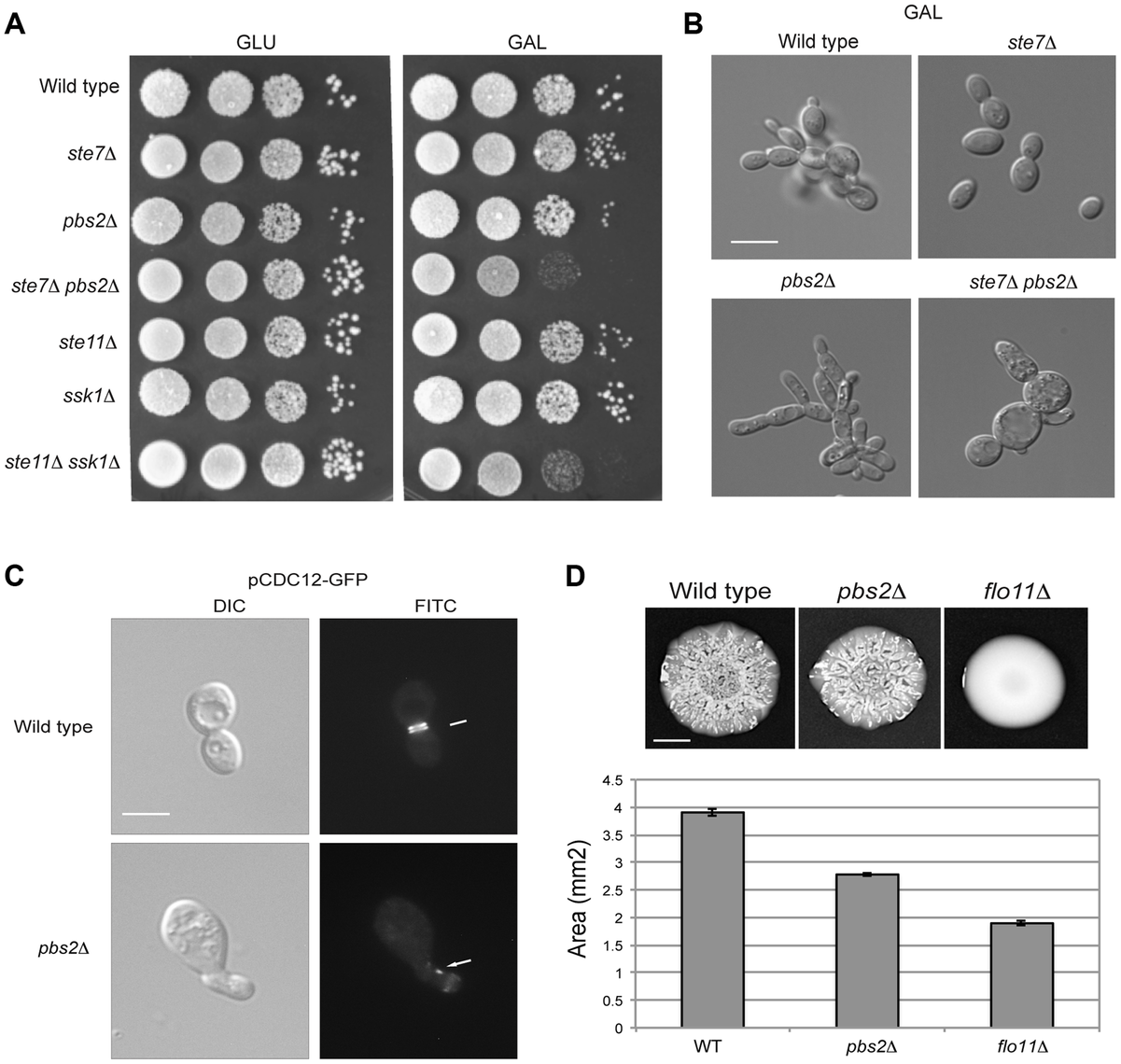 Role of the HOG and filamentous growth pathways in growth in galactose and effect of the inhibitory role of the HOG pathway on filamentous growth pathway outputs.