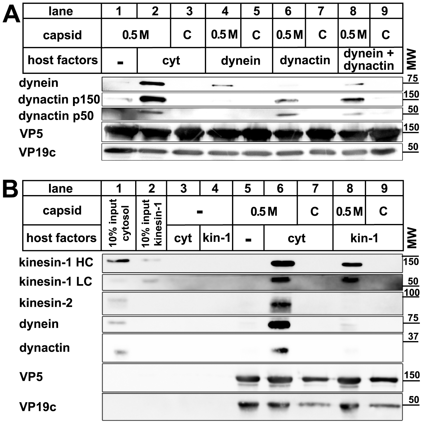 Dynein, dynactin, and kinesin-1 bind directly to tegumented HSV1 capsids.