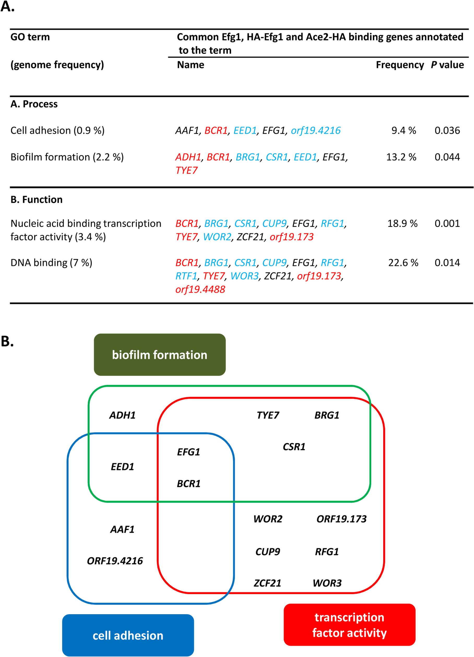 GO categories of common untagged Efg1 (Efg1), HA-Efg1 and Ace2-HA target genes under hypoxia.