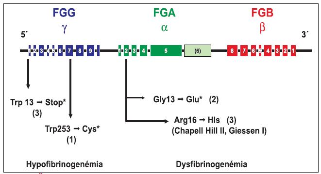 Štruktúra génu pre fibrinogén a génové mutácie pri hypo a dysfibrinogenémii v súbore 24 jedincov z 9 rodín.