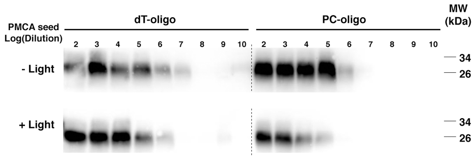 Western blot showing the final samples from 3 round sPMCA reactions.
