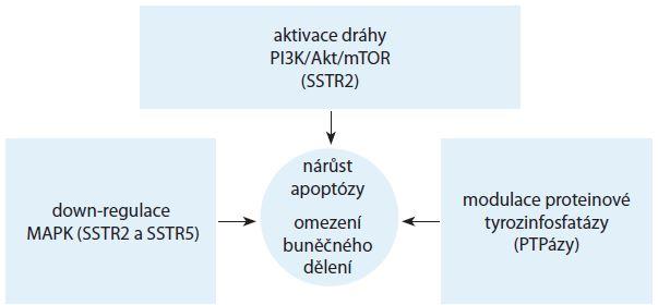 Schéma 2. Přímá antiproliferační aktivita SSA. Volně podle [14–16].