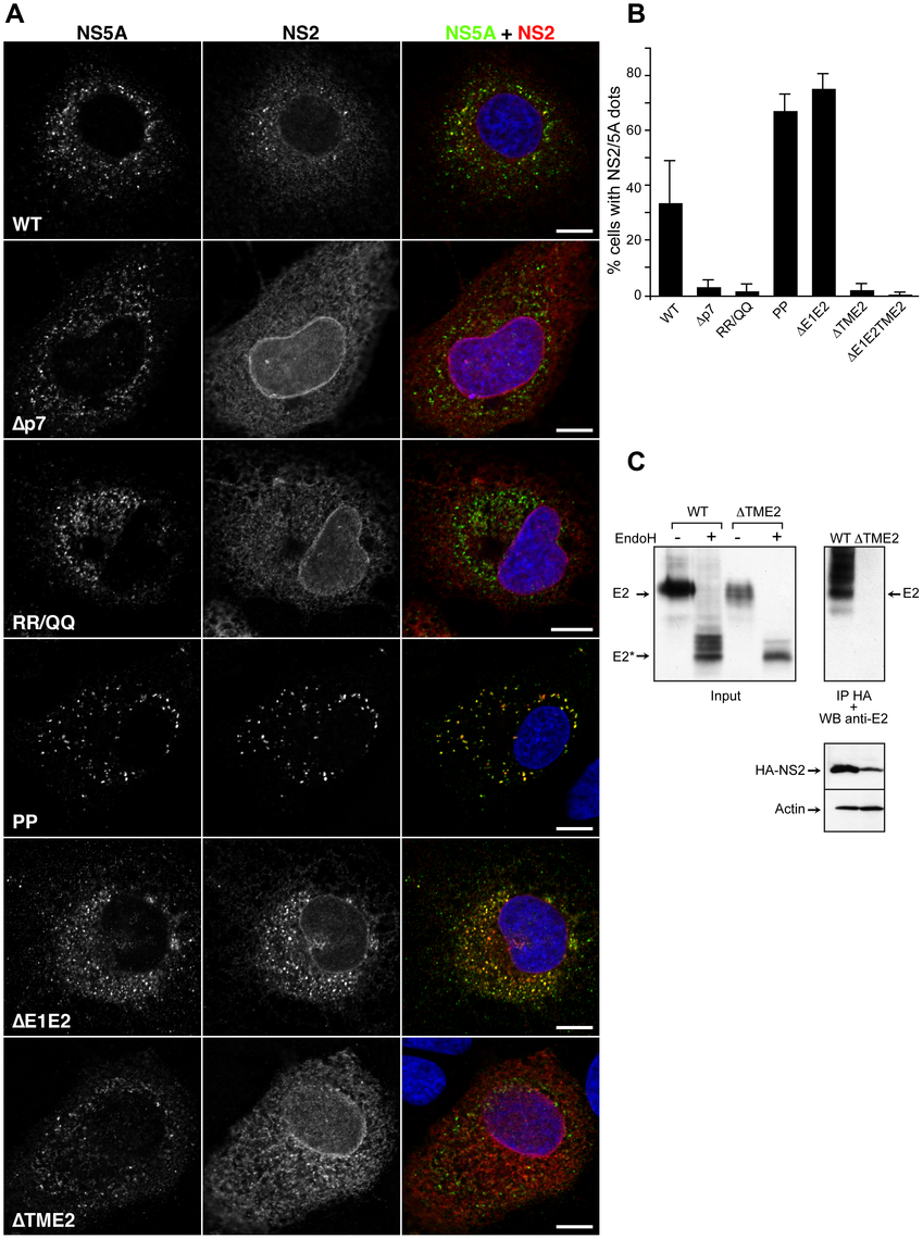 Subcellular localization of NS2 in assembly deficient mutants in the structural region.