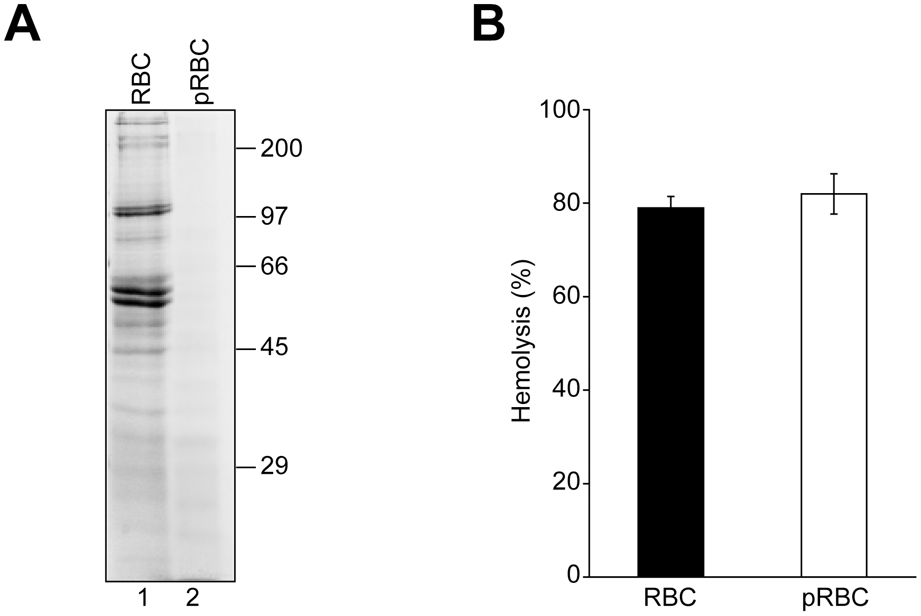 RBC surface proteins are not required for VP4-mediated hemolysis.