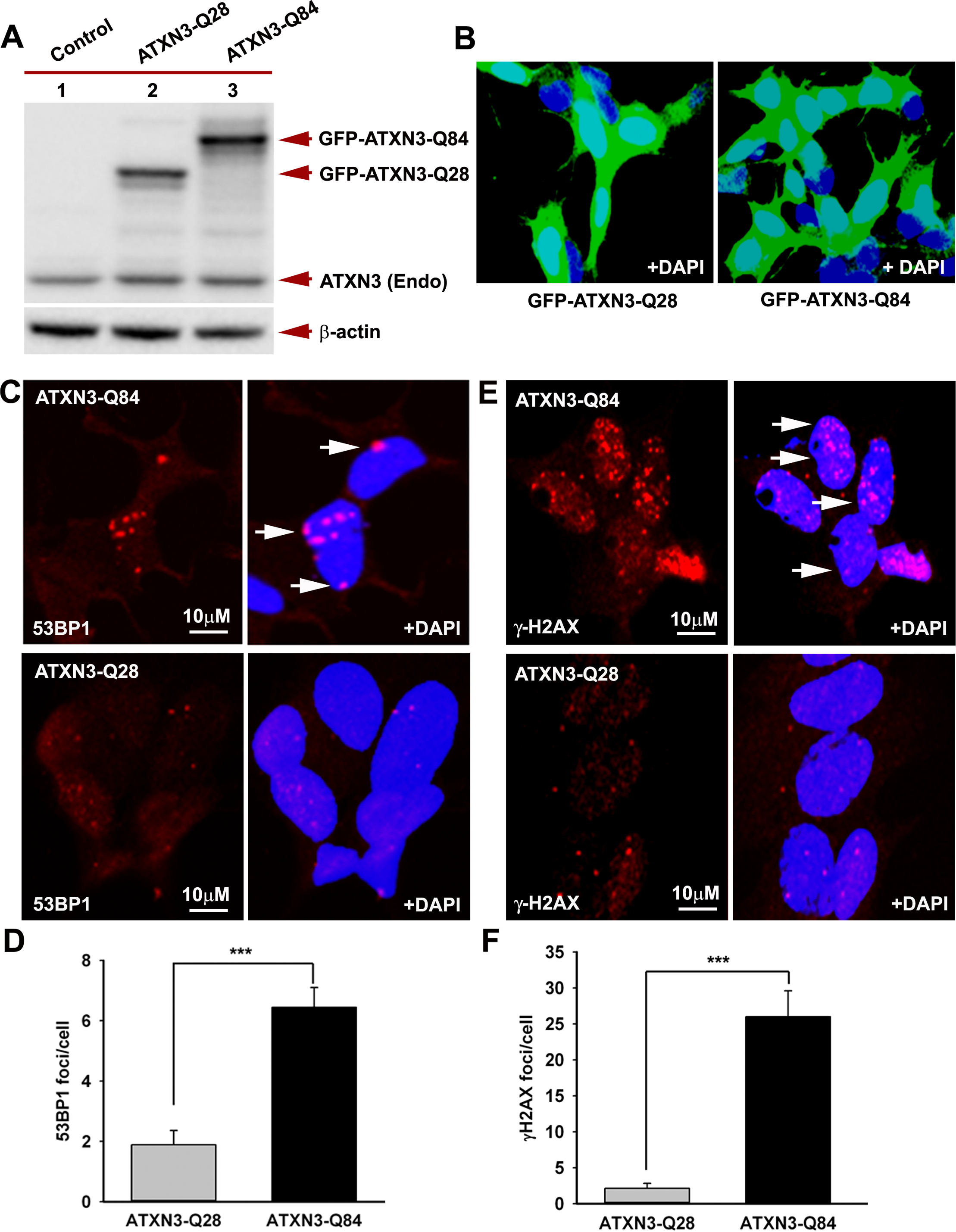 Expression of mutant ATXN3 in cells induces DNA strand breaks.