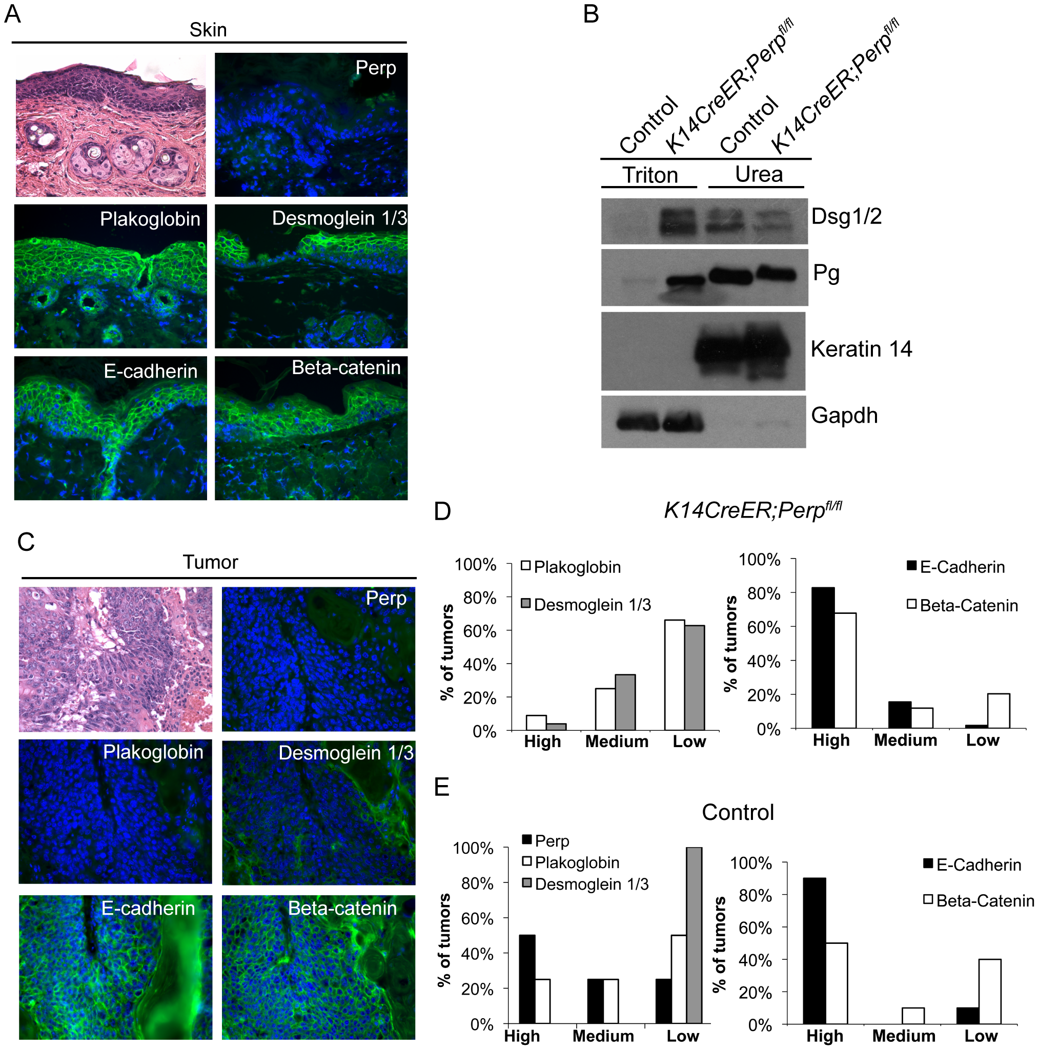 Adhesion junction analysis in tumors from <i>K14CreER;Perp<sup>fl/fl</sup></i> and control mice.
