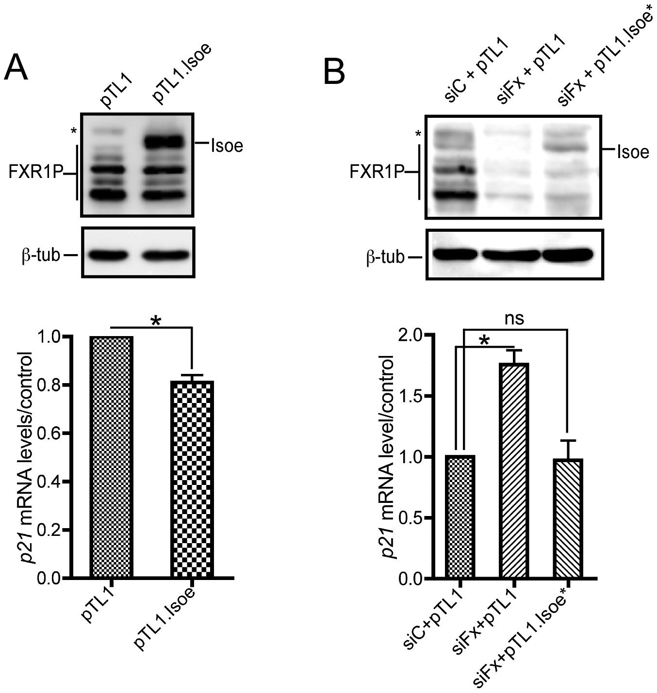 FXR1P overexpression in <i>Fxr1</i>-depleted C2C12 cells restores <i>p21</i> mRNA levels to normal.