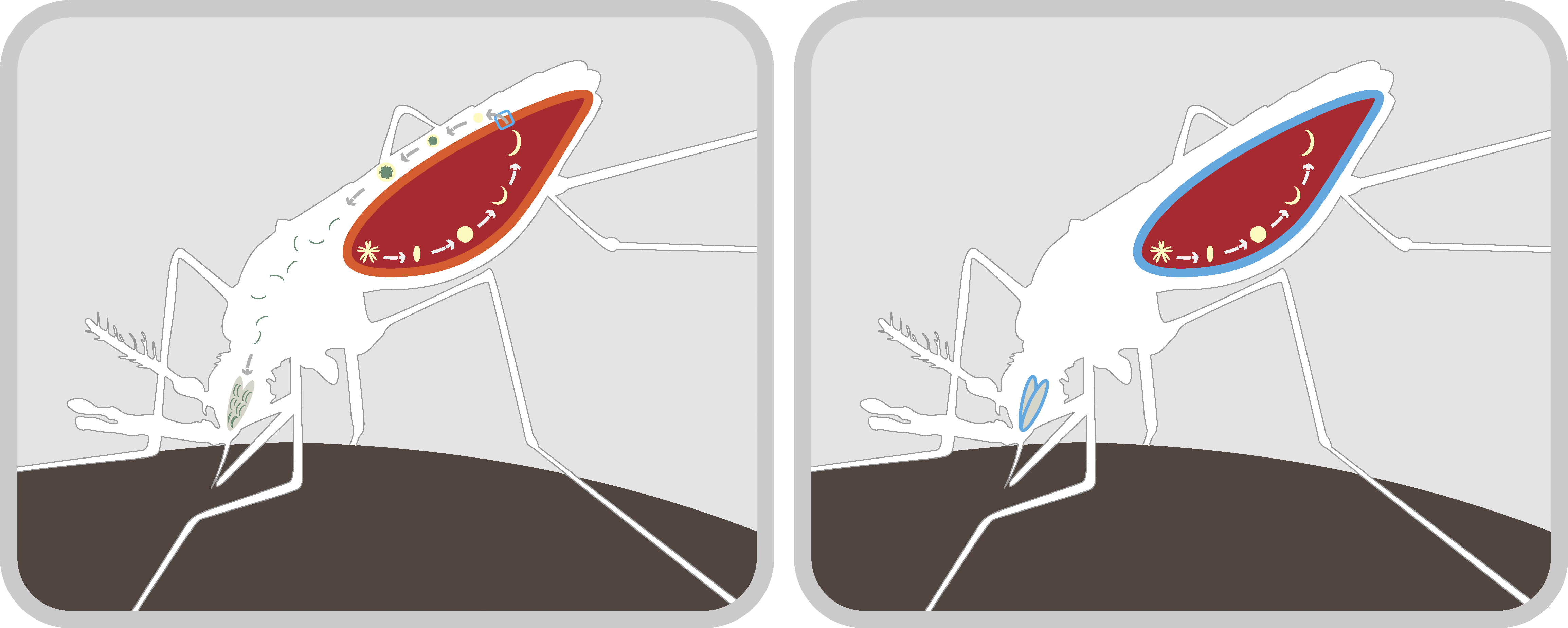 Mechanism for Blocking Malaria Transmission in the Mosquito