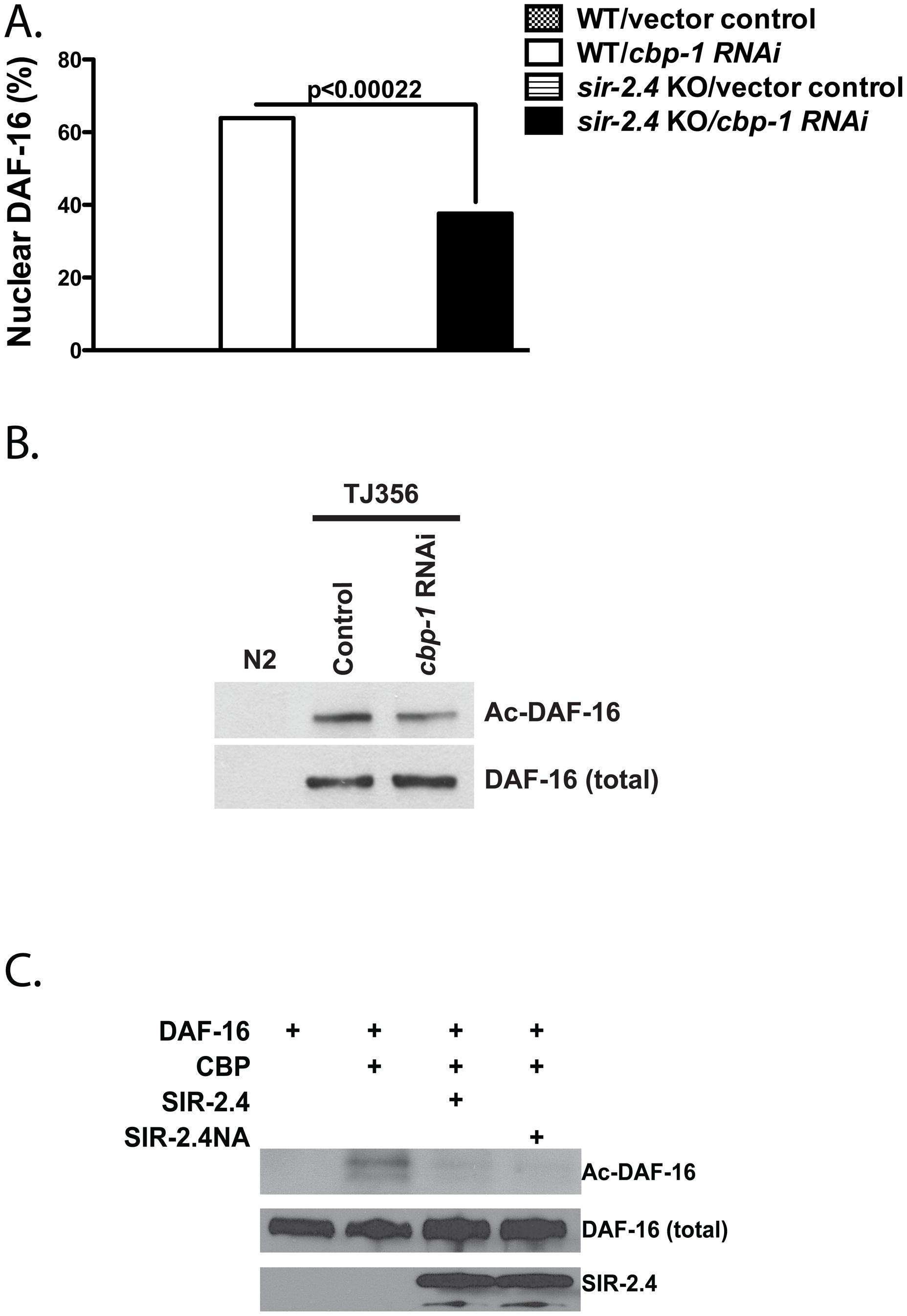 SIR-2.4 inhibits CBP1-mediated DAF-16 acetylation.